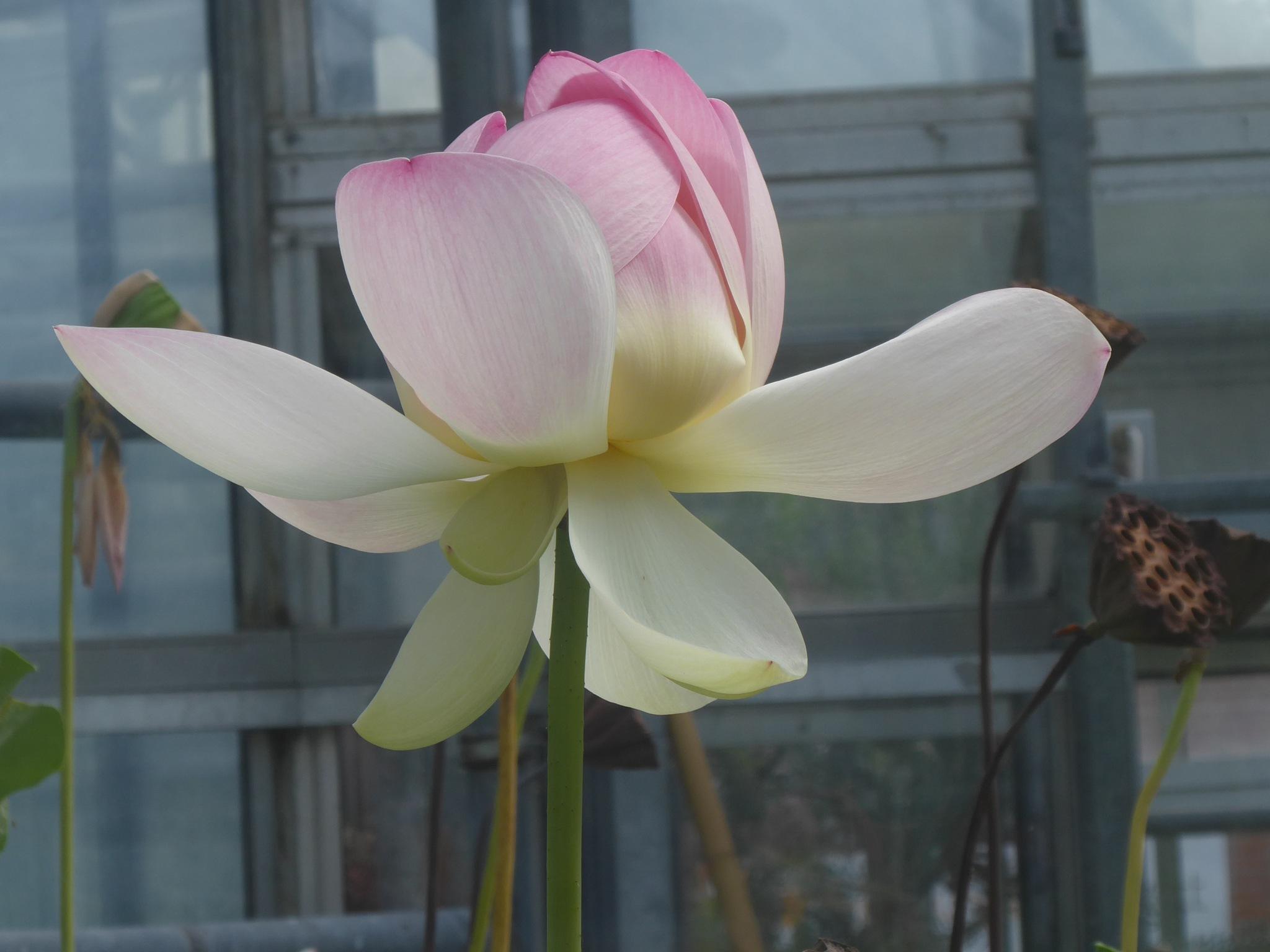 Lotus by Norbert Reiss