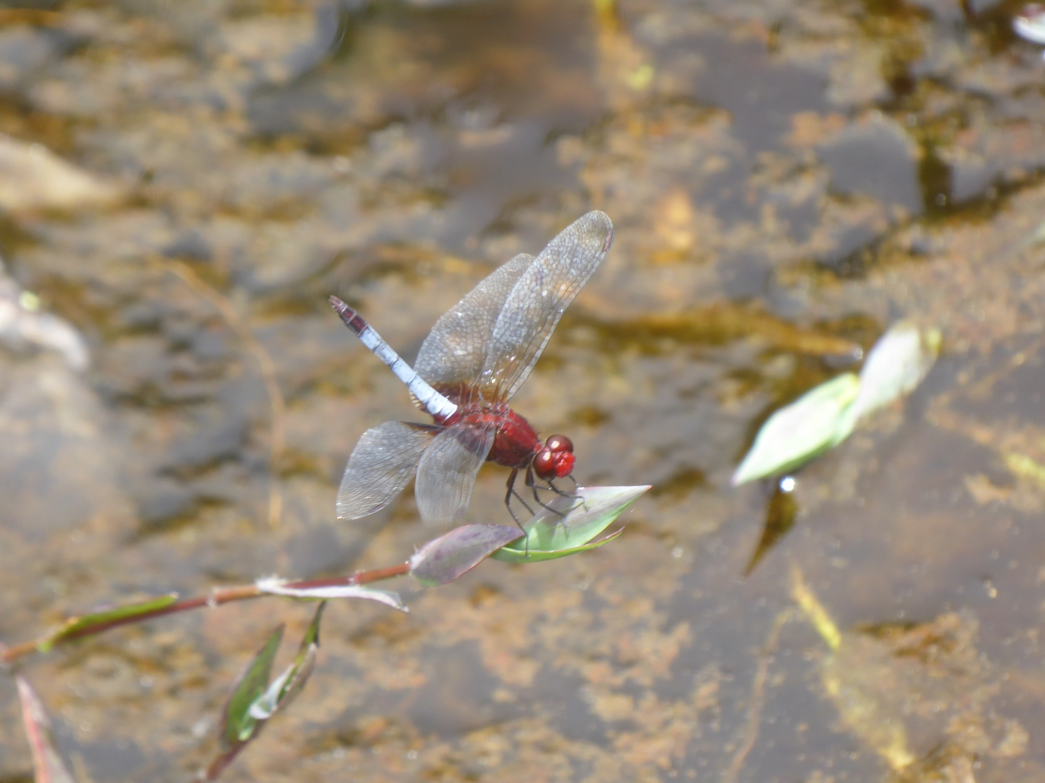 Another red dragonfly by Norbert Reiss