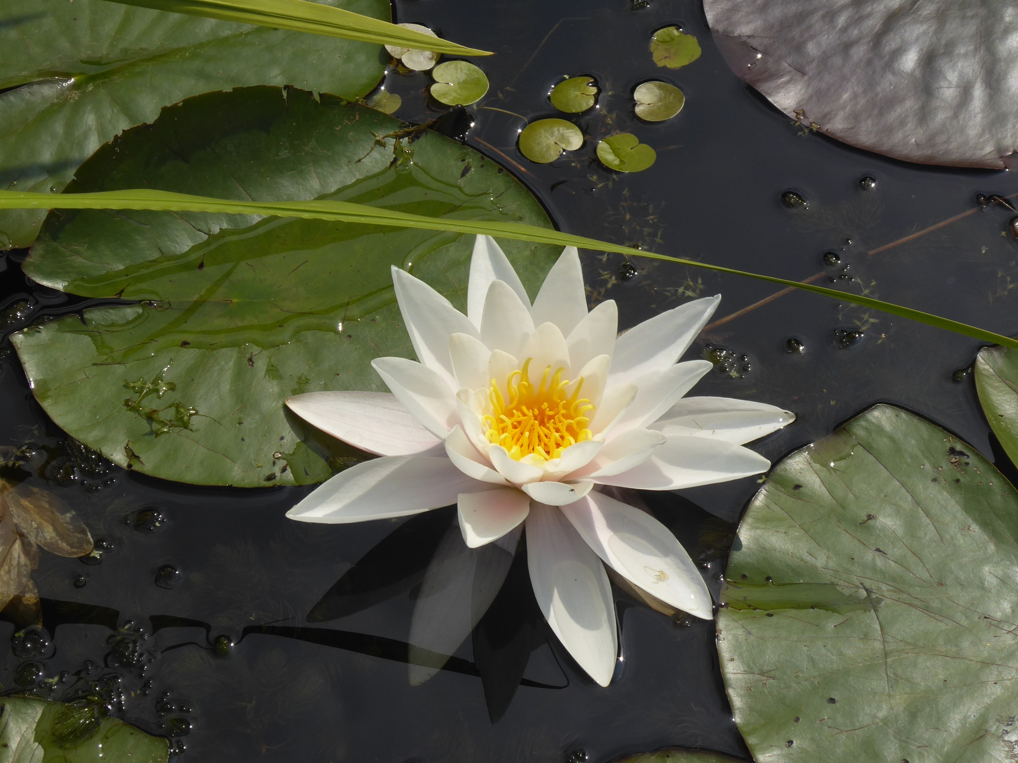 water lily by Norbert Reiss