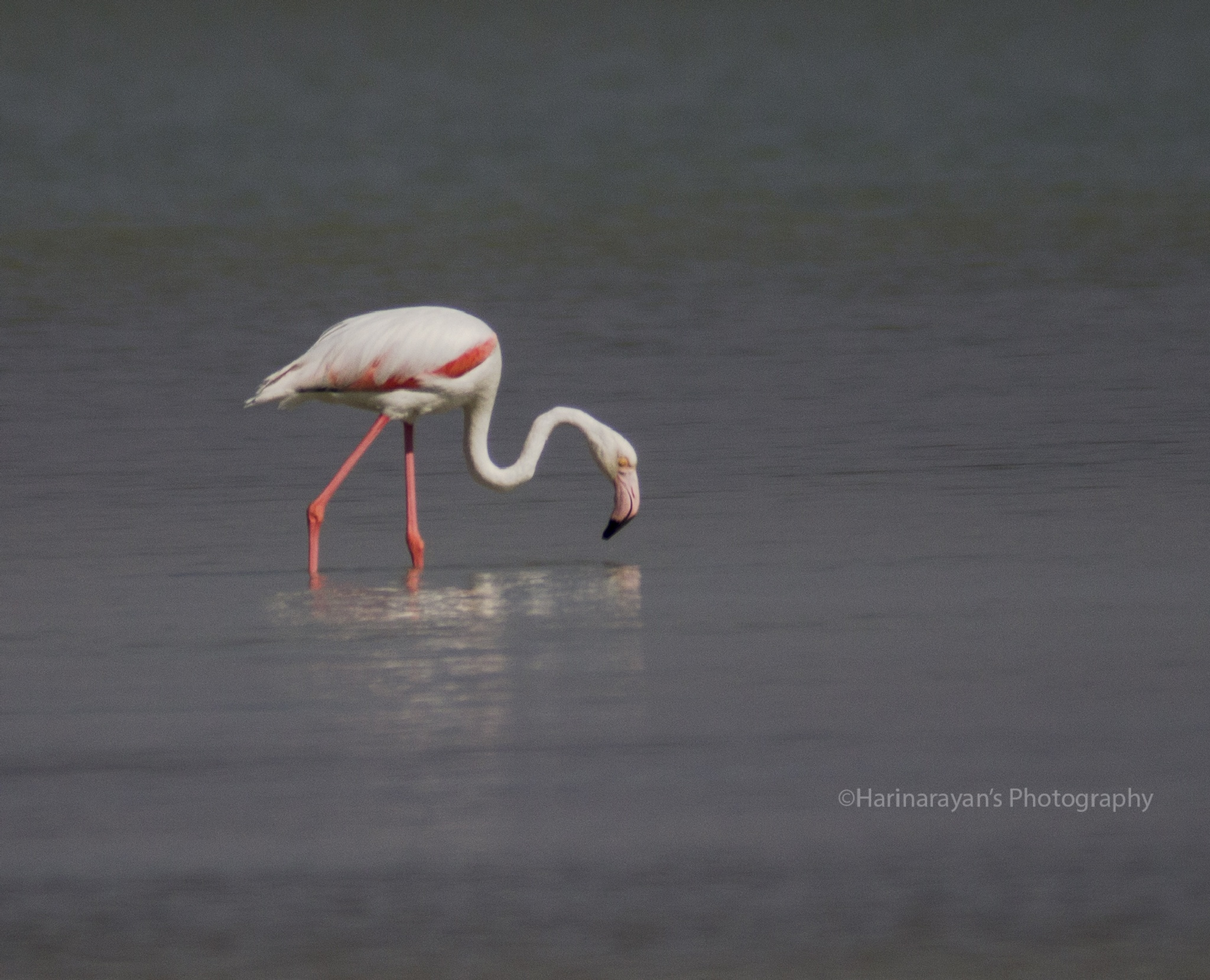 Pink Flamingo by Creative Hunt