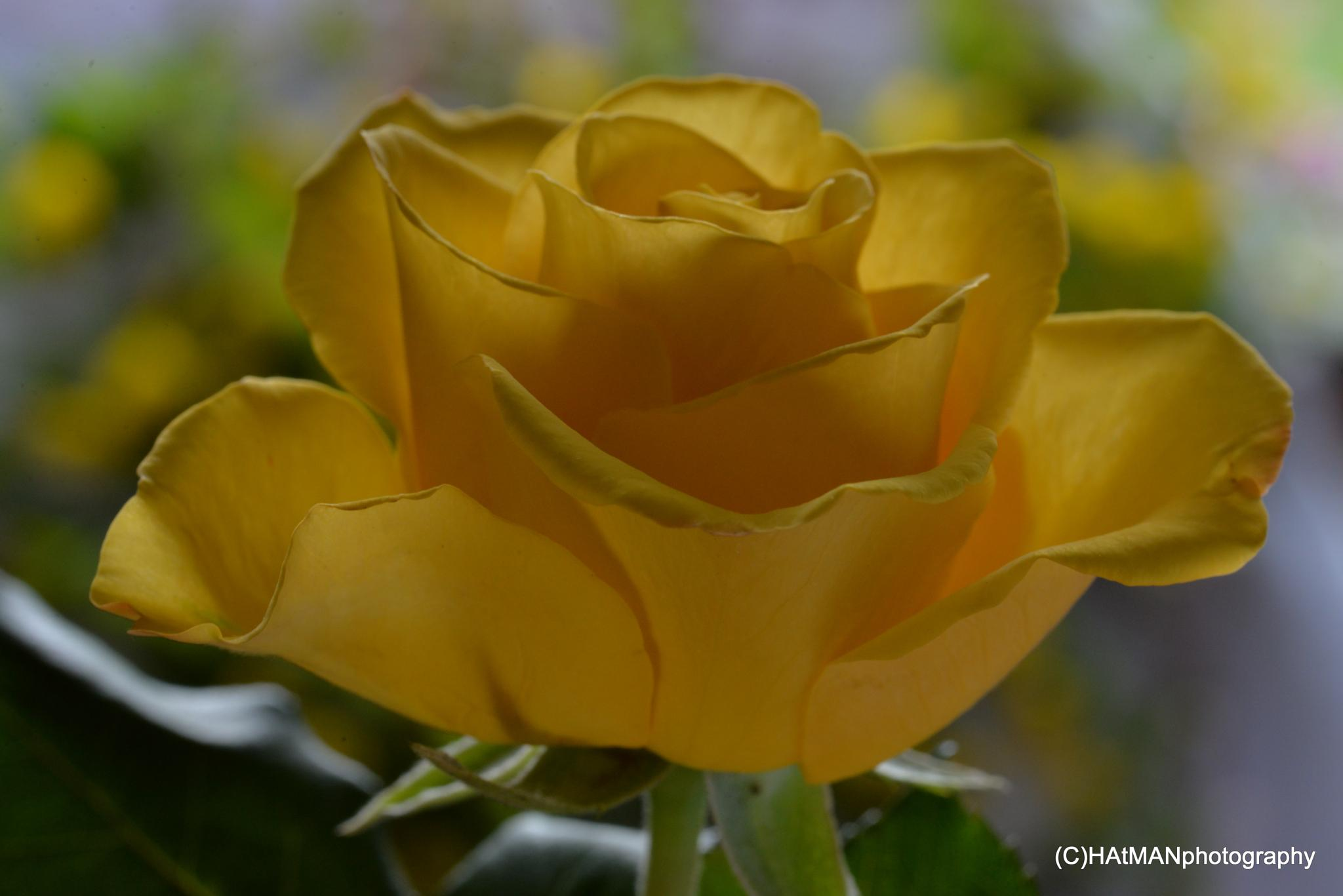 Rose by HeikkiHAtMAN PHOTOGRAPHY