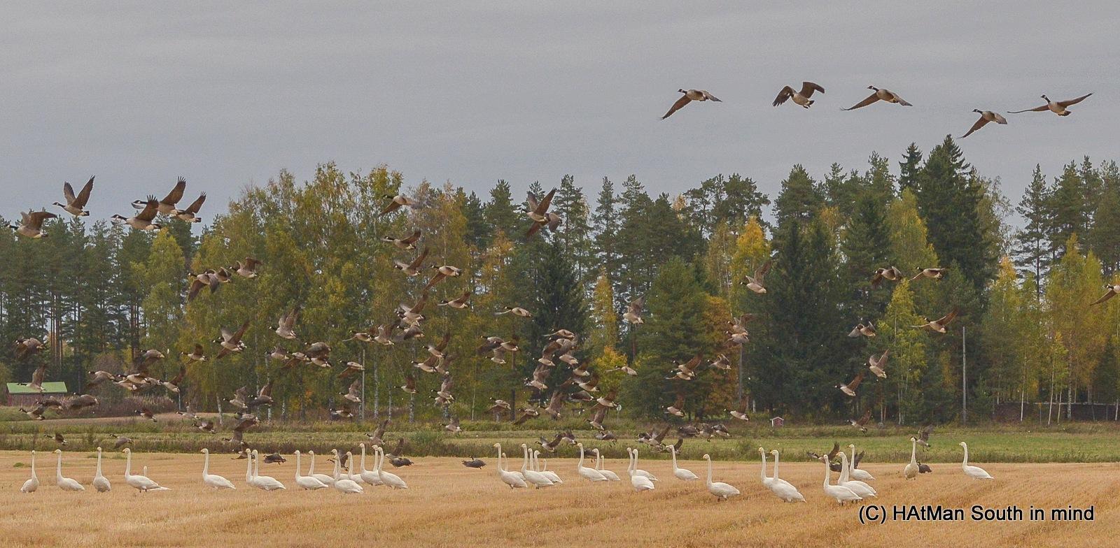 Birds leaving Finland by HeikkiHAtMAN PHOTOGRAPHY