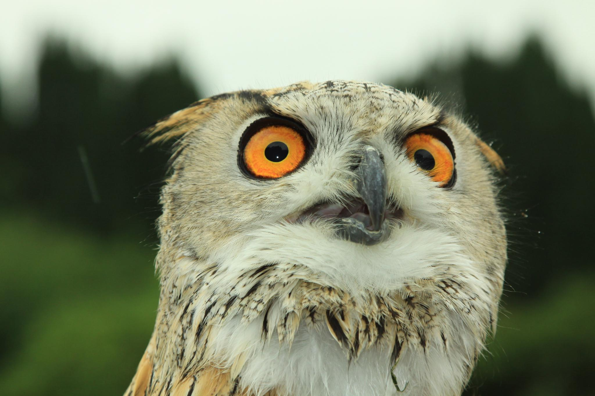 European Eagle Owl by davehutchins