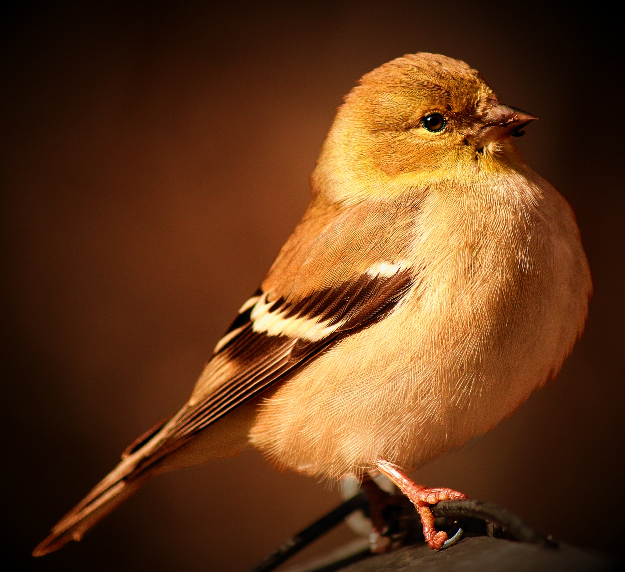 American Goldfinch  by Paul Mays
