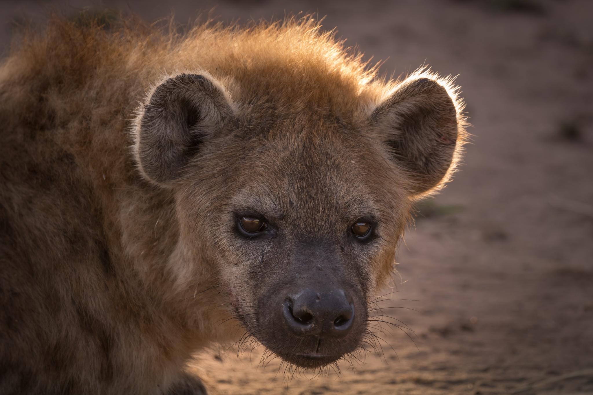 Hyena by sachin sawhney