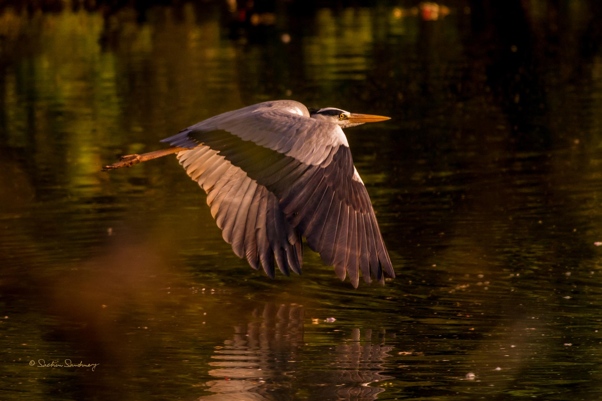 Grey Heron in Flight -4 by sachin sawhney