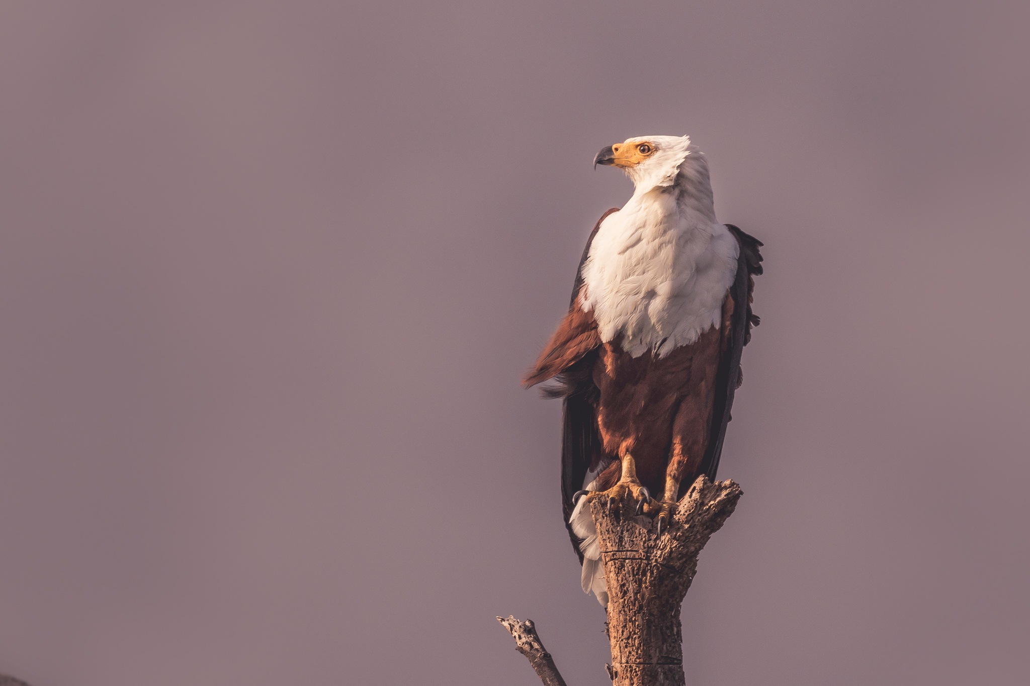 Fish Eagle by sachin sawhney