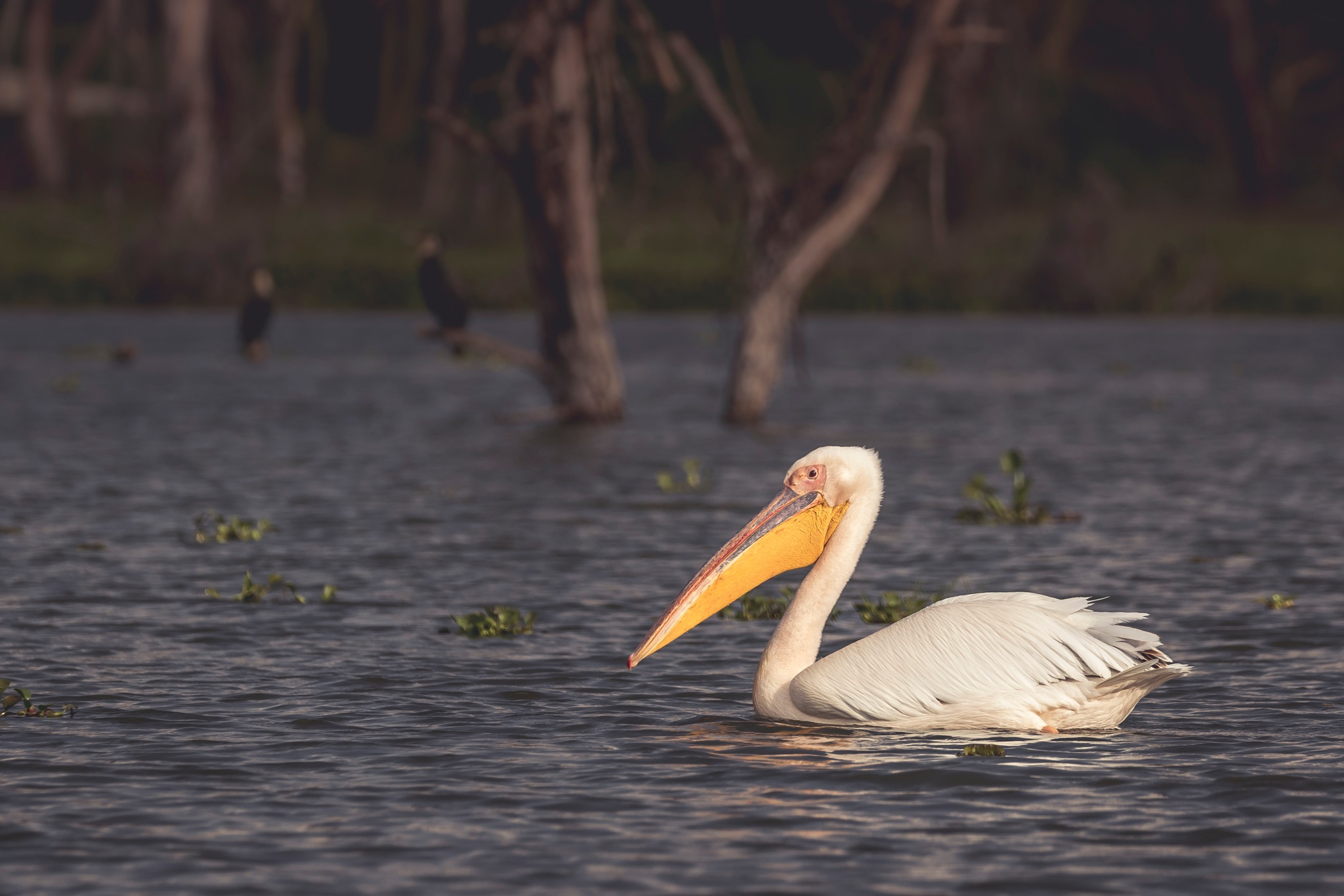 Yellow billed Pelican by sachin sawhney