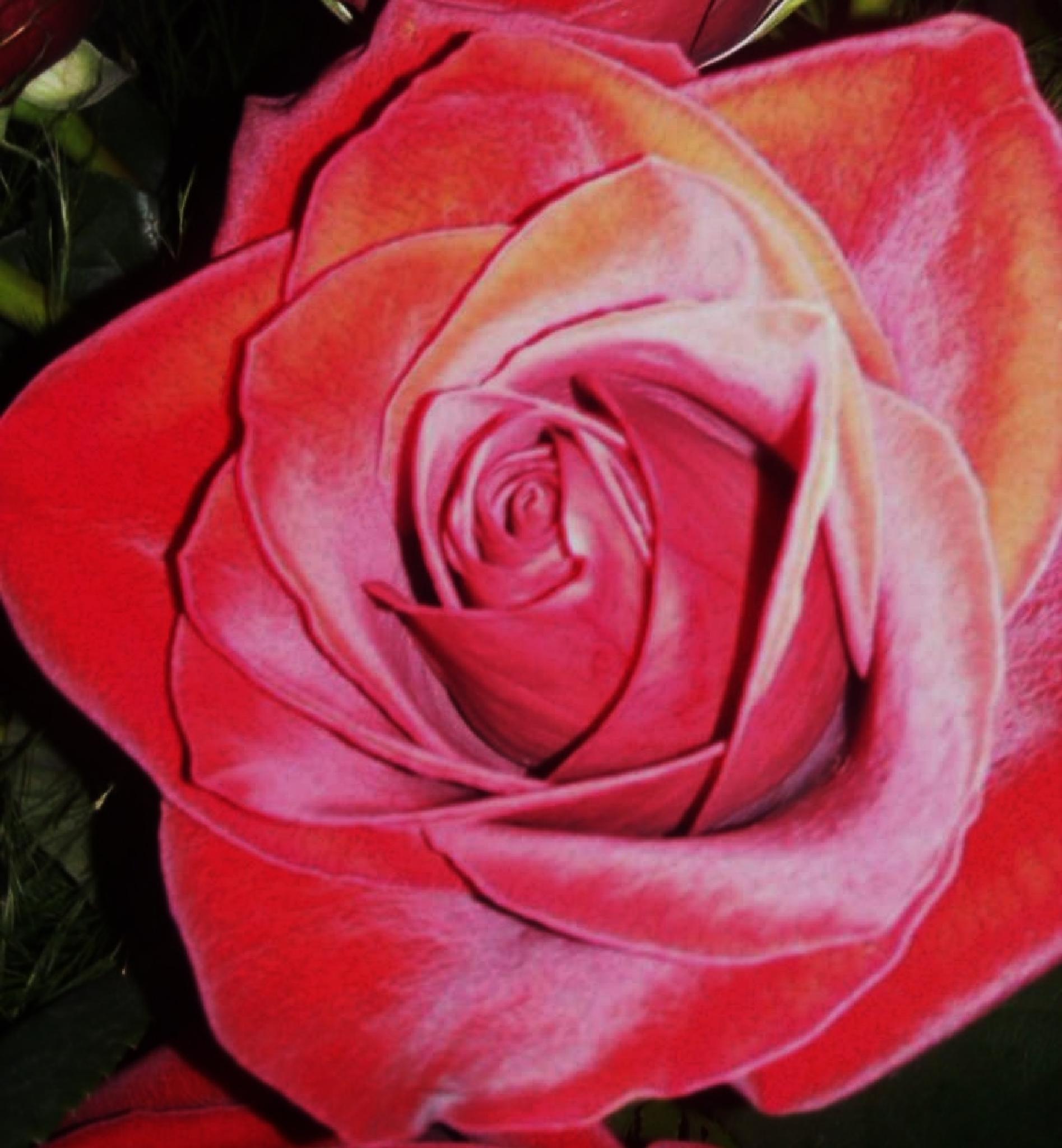 rose by santee57