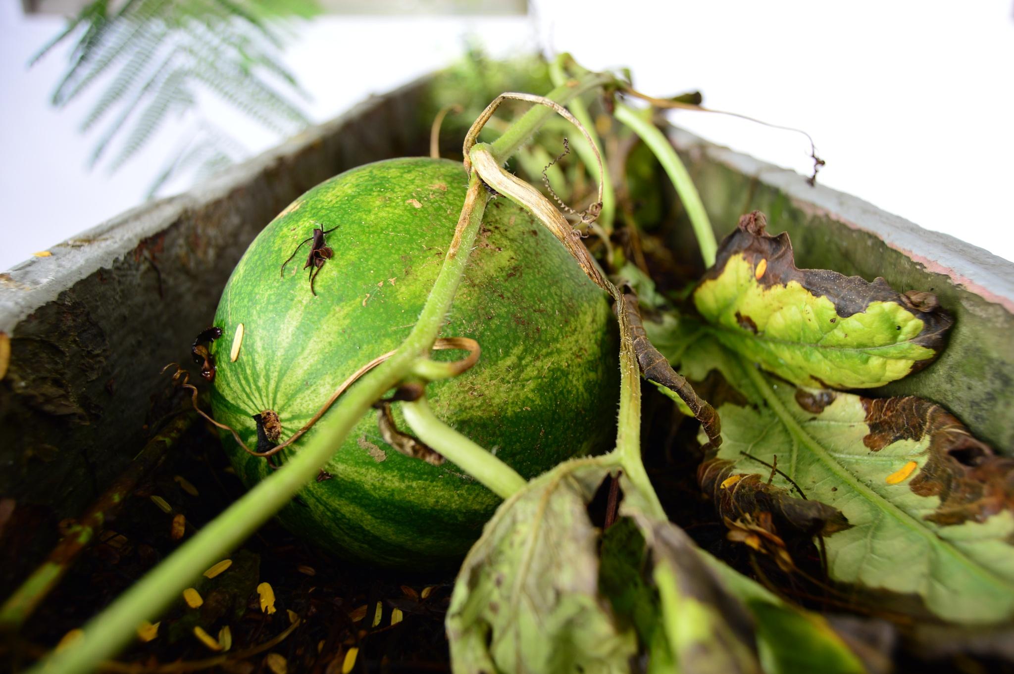 watermelon baby by gaelgarcia38