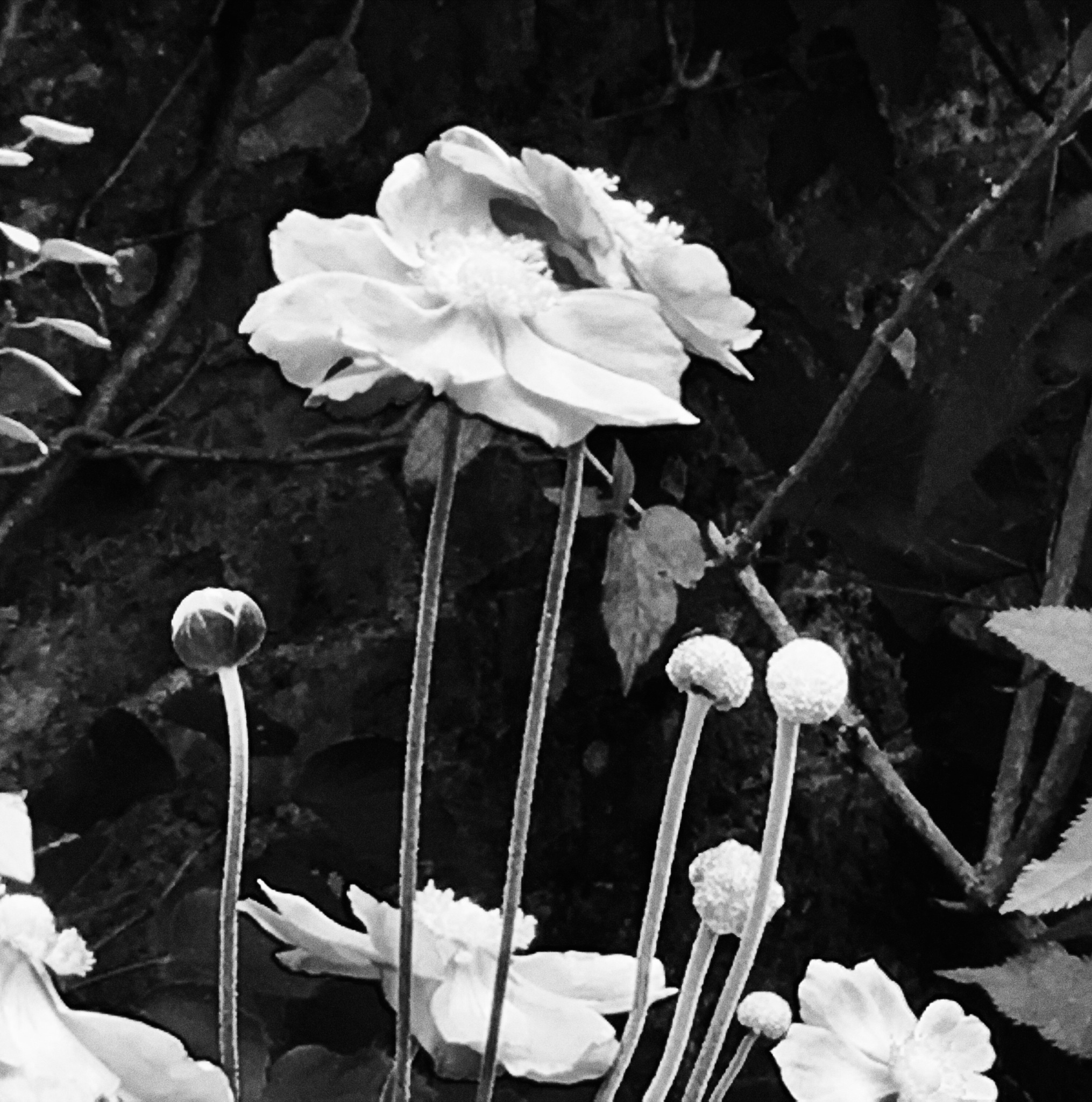 Peonie by Theresa Cookney