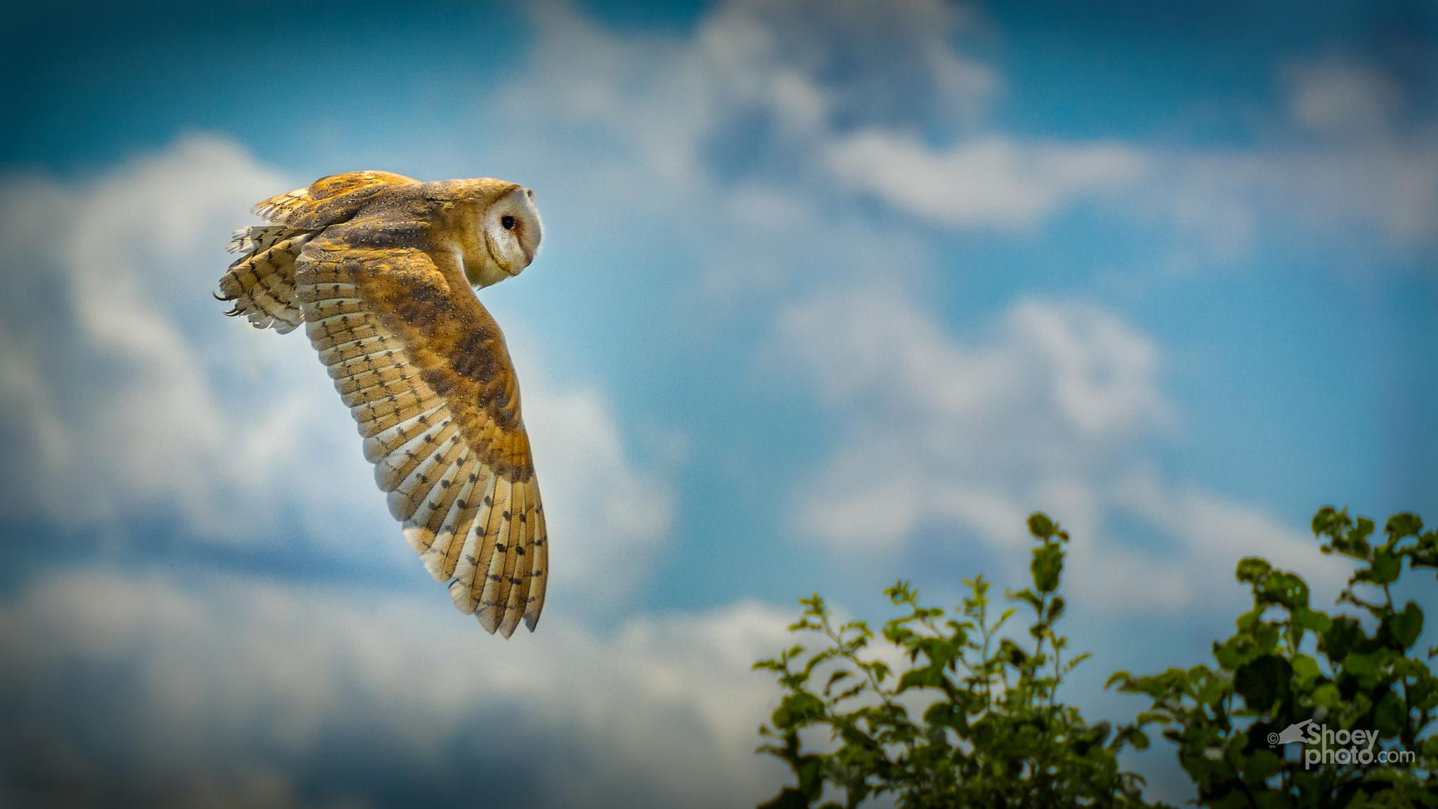The Barn Owl by Shoeyphoto.com