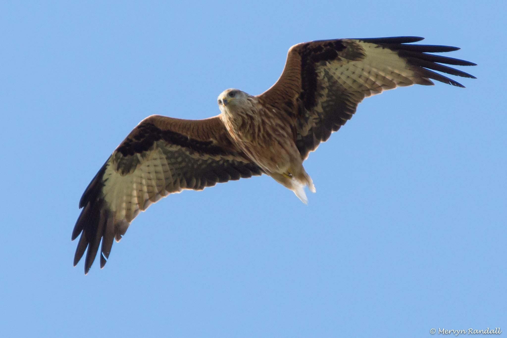 Red Kite with Tail Missing by Mervyn Randall