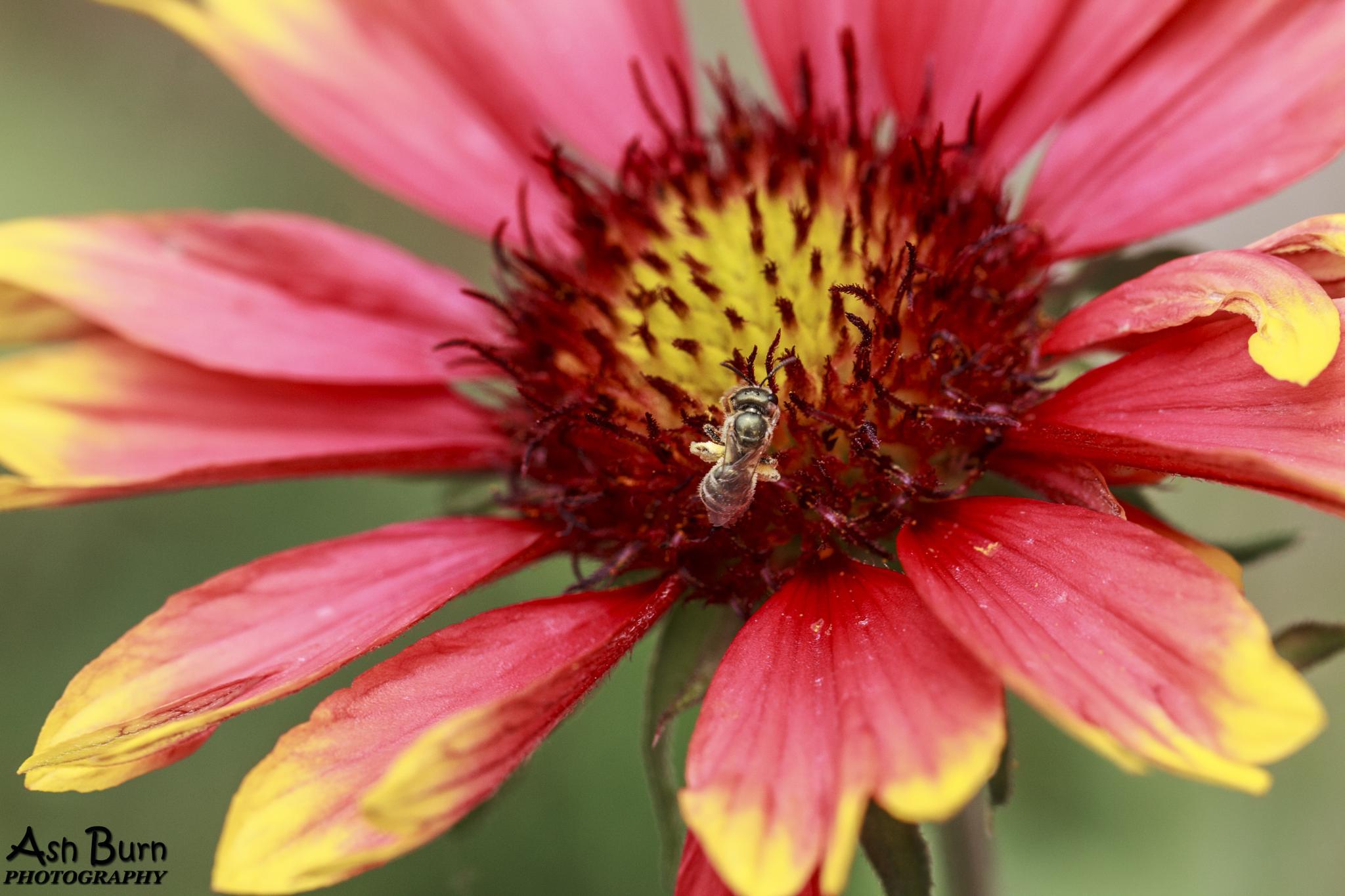 The feeding bee by aa_burn