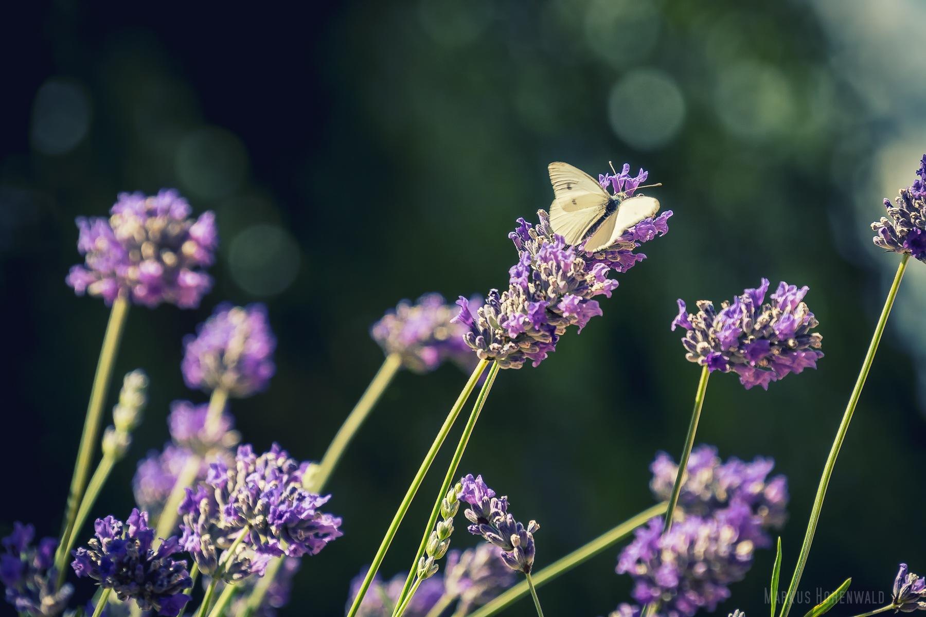 Lavendel mit Falter by Markus Hohenwald