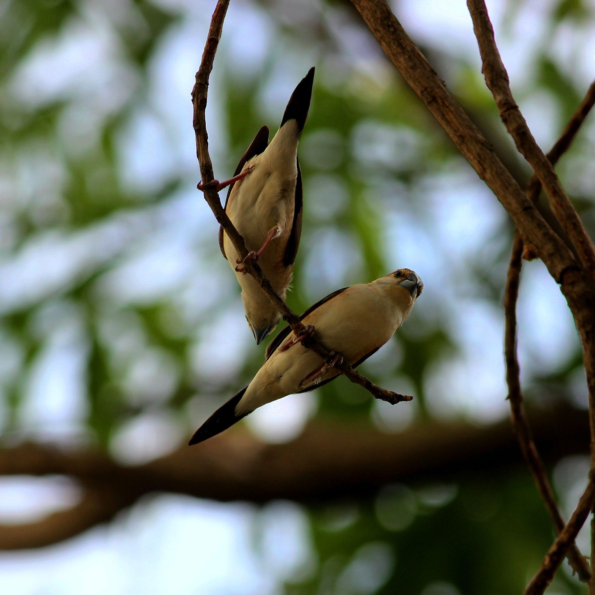 Silverbills by Nirav Mehta
