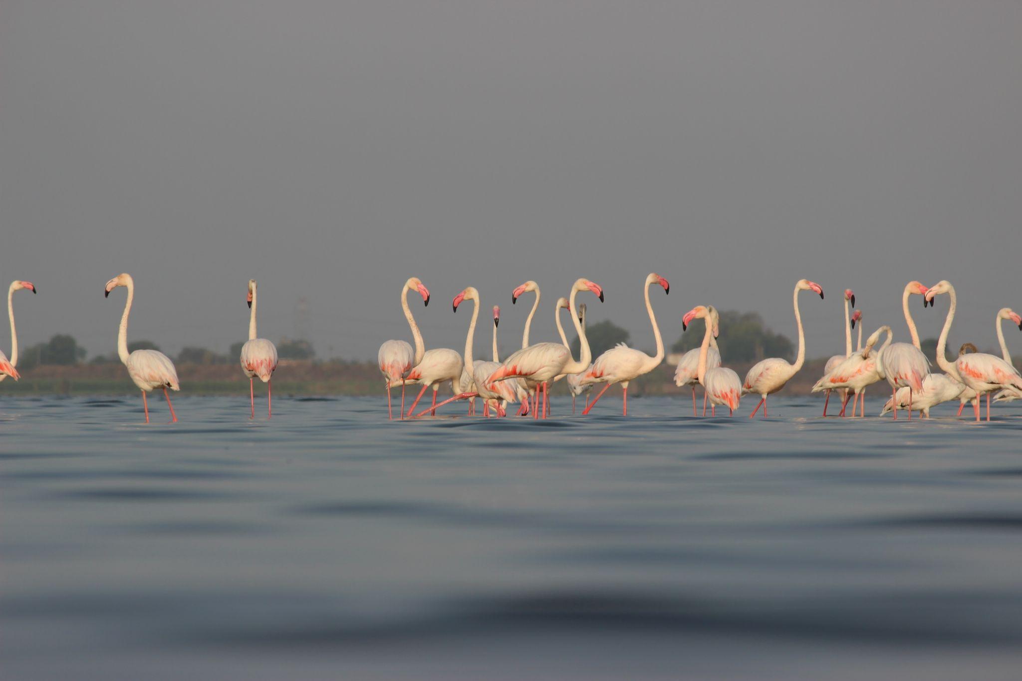 Greater Flamingos by Nirav Mehta