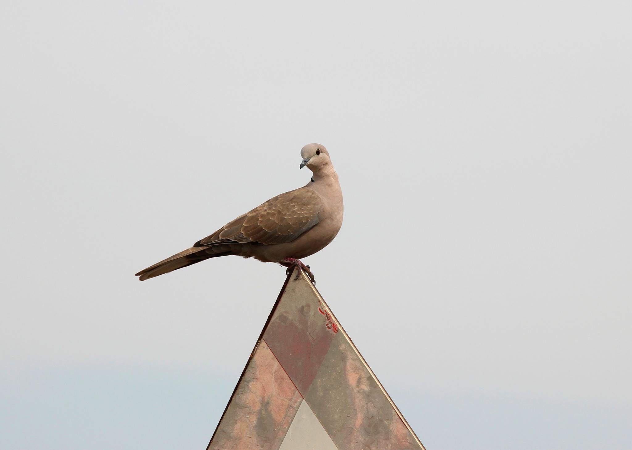 Photo in Nature #collared dove #dove #nature