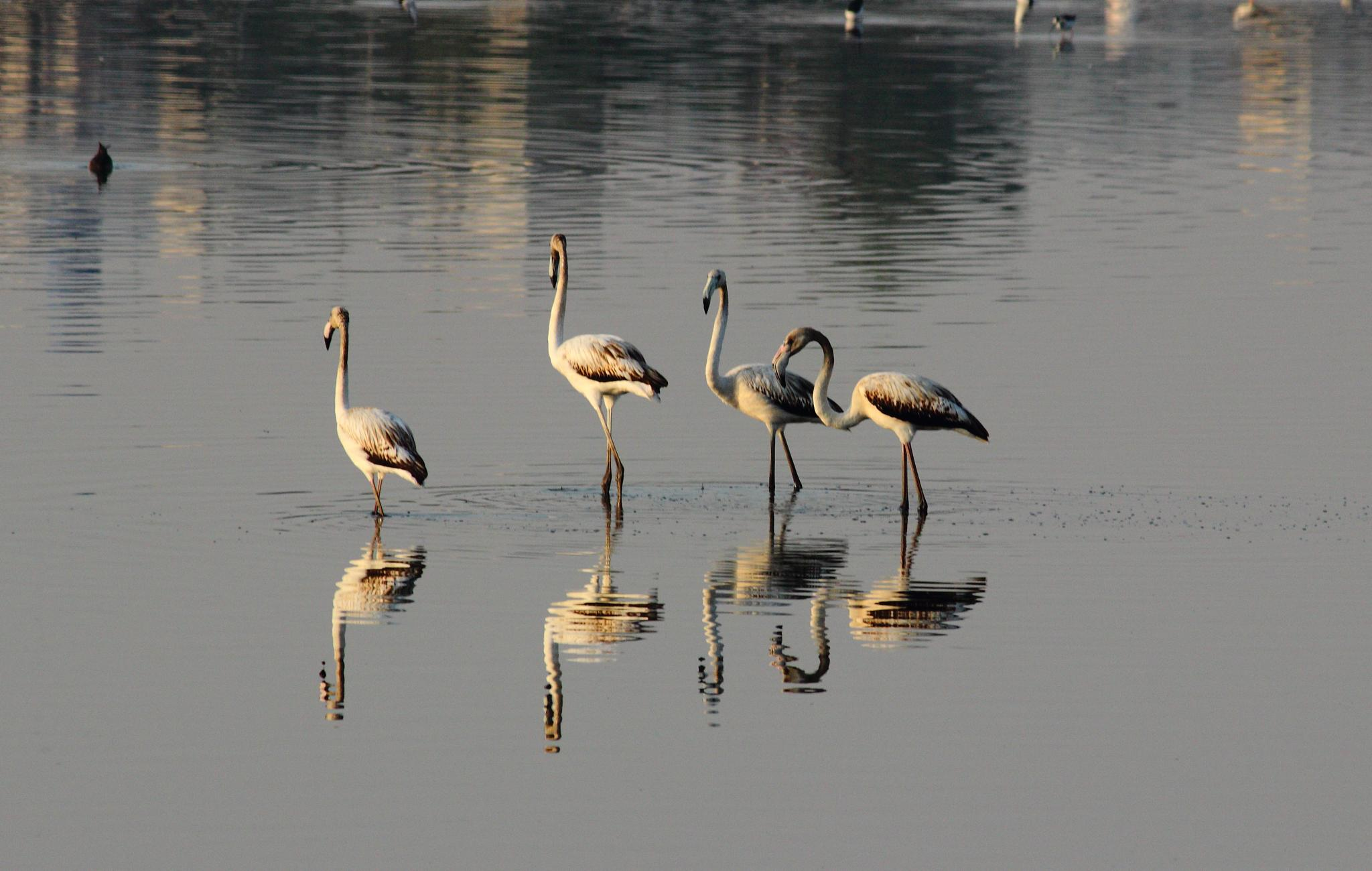 Greater Flamingos by Nirav Mehta
