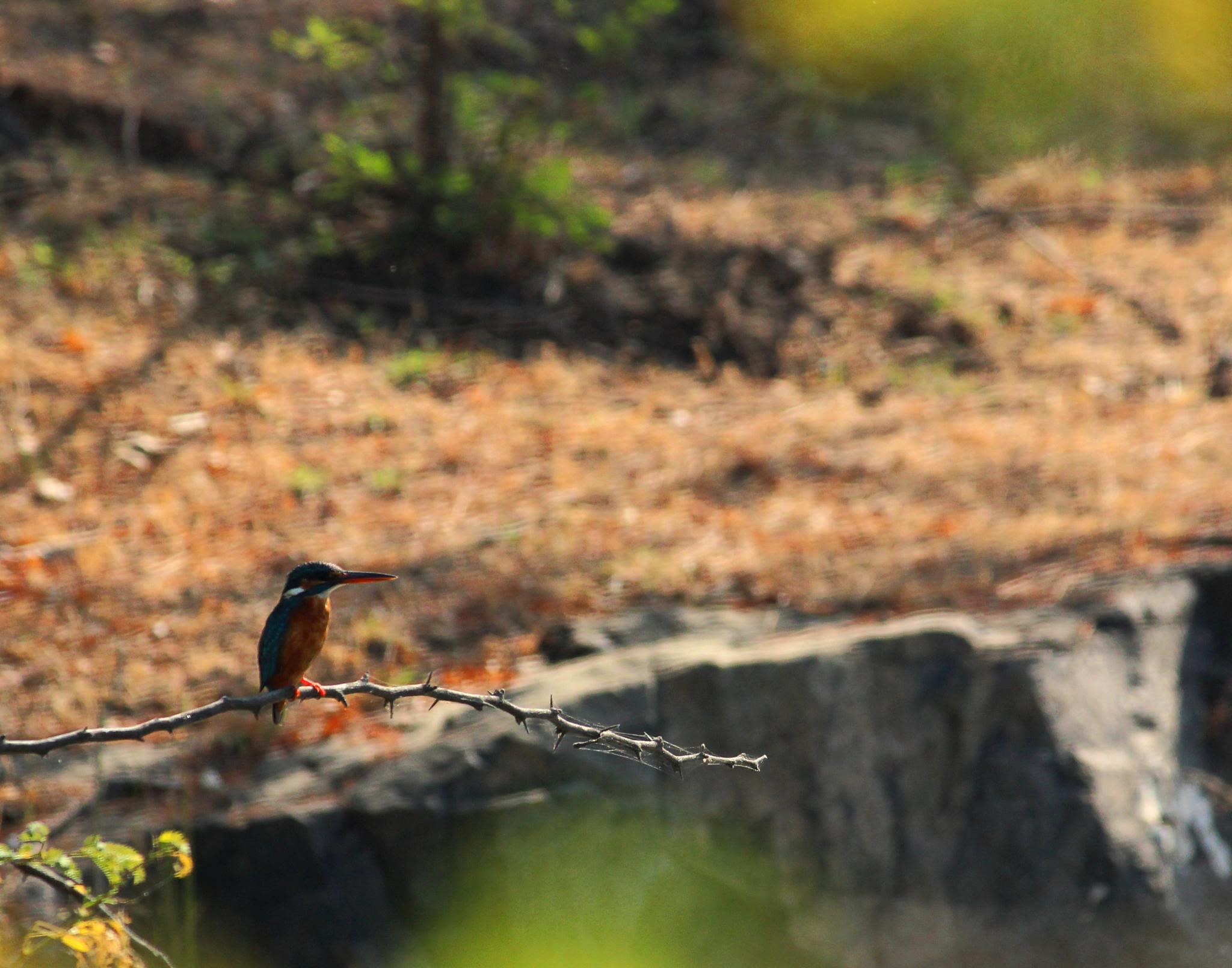 Common Kingfisher by Nirav Mehta