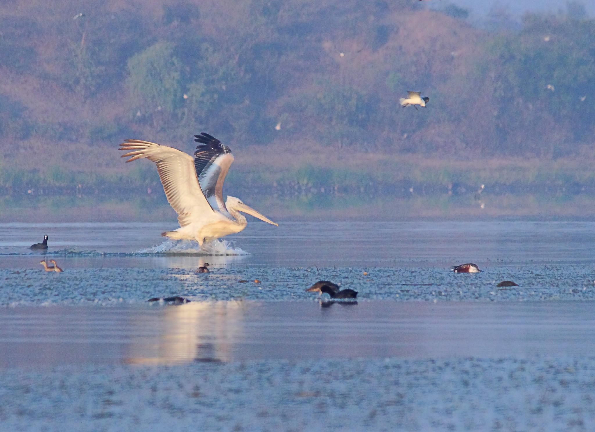 Pelican Landing by Nirav Mehta