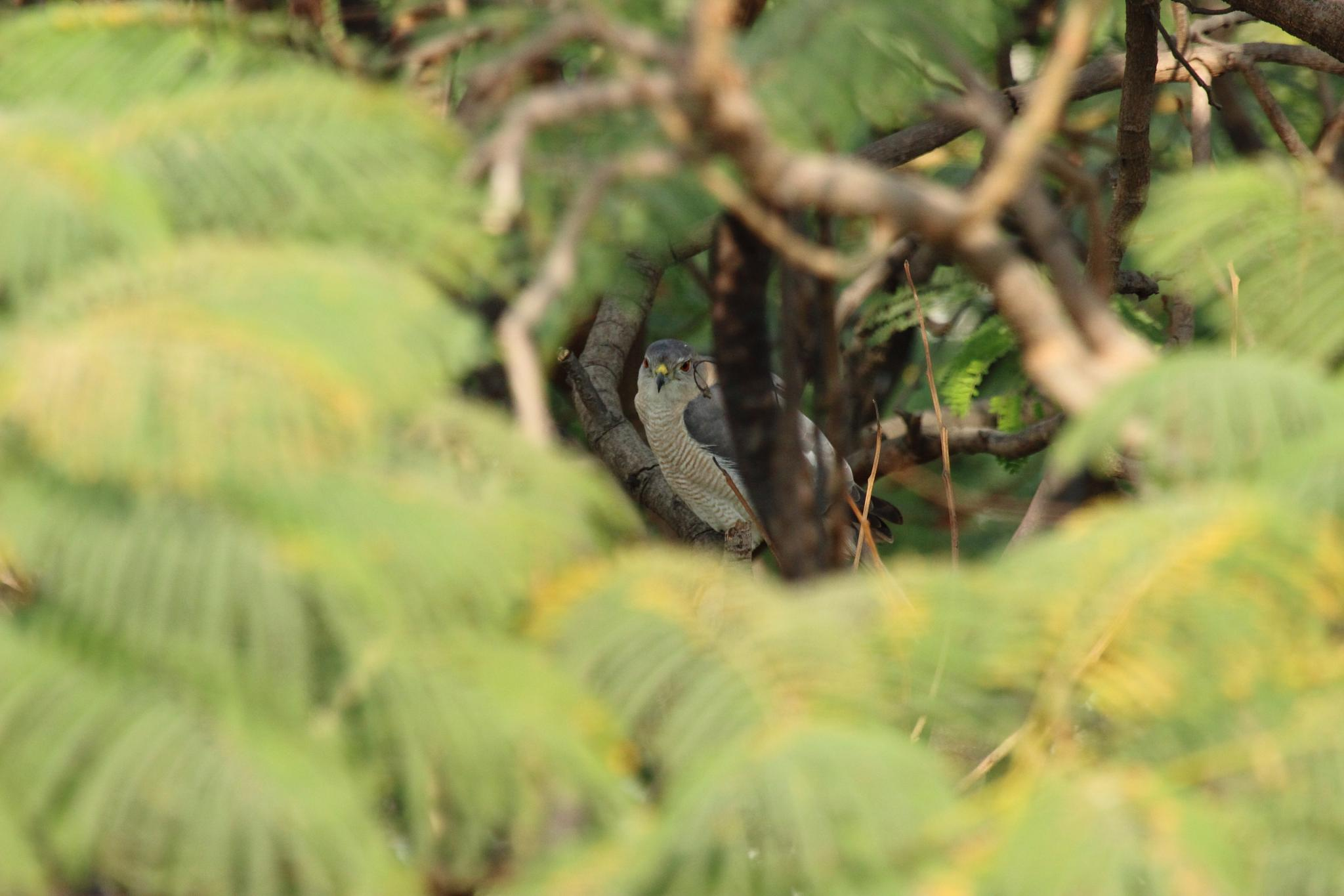 Shikra, Falcon in Natural Habitat by Nirav Mehta