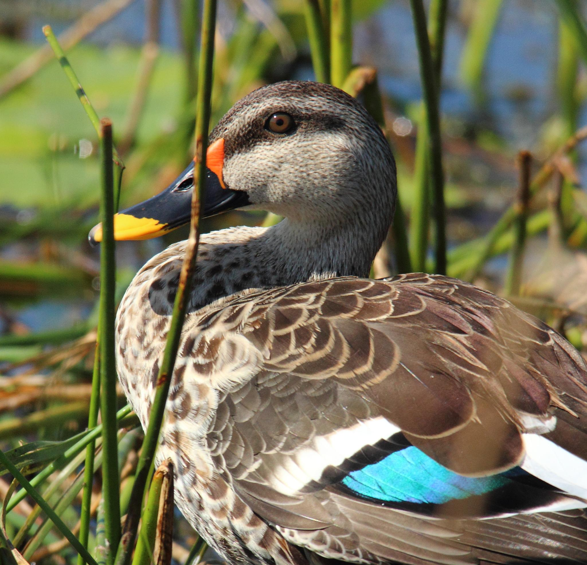 Spot Billed Duck by Nirav Mehta