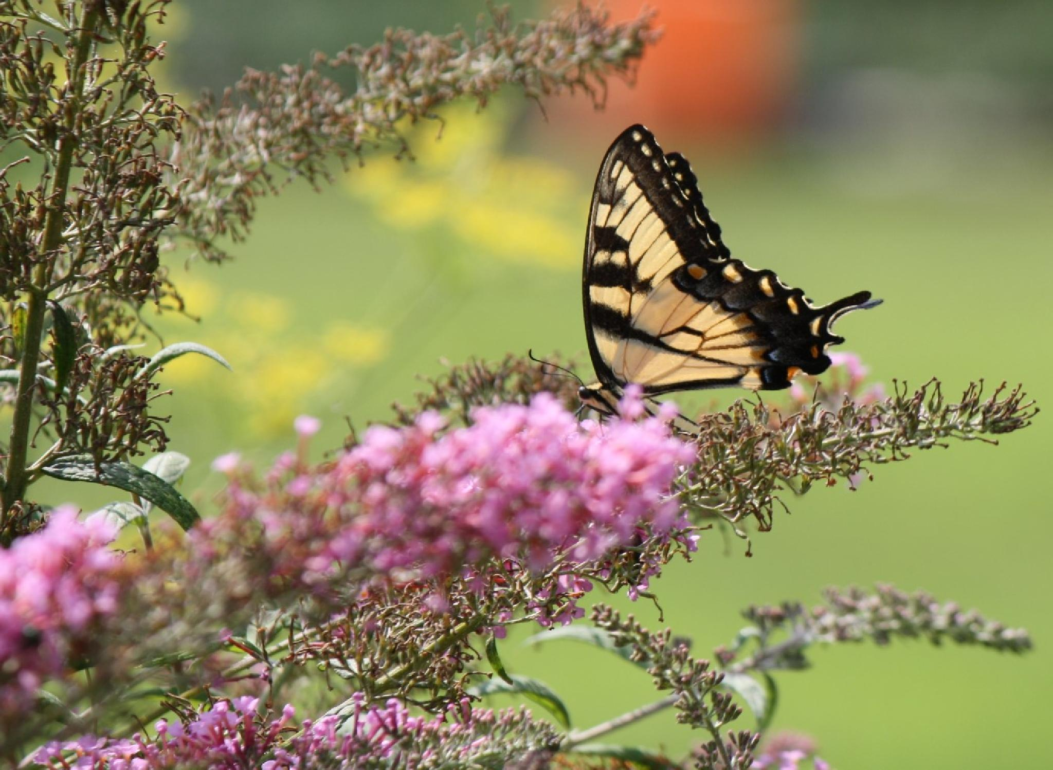 Butterfly on Lavender  by REH