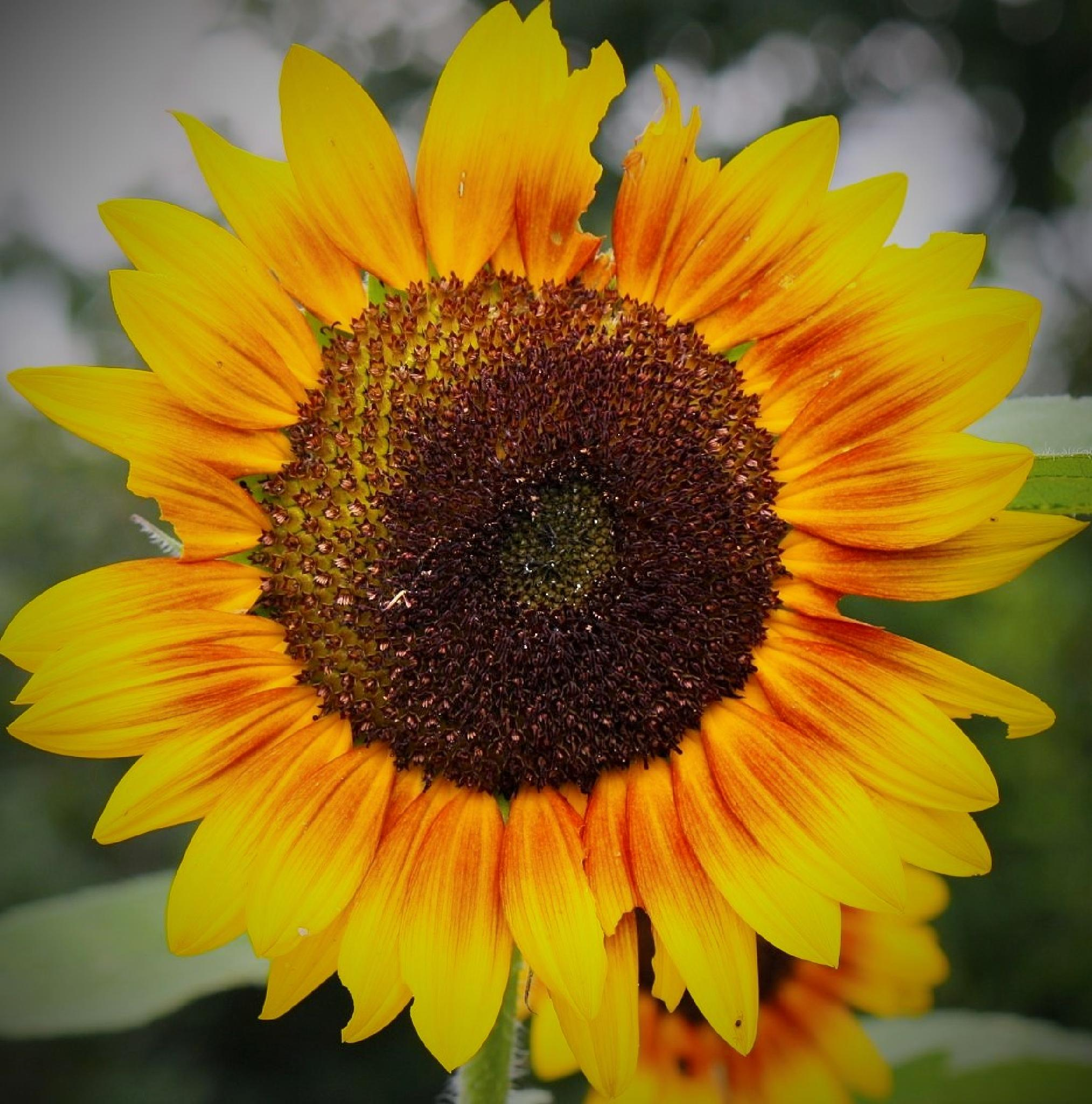 Sunflower by REH