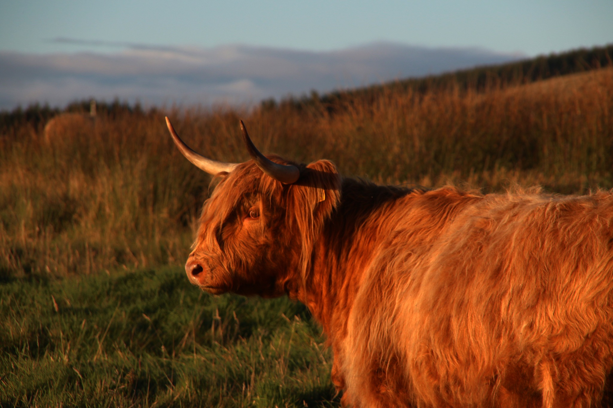 heilin coo by marcosparco