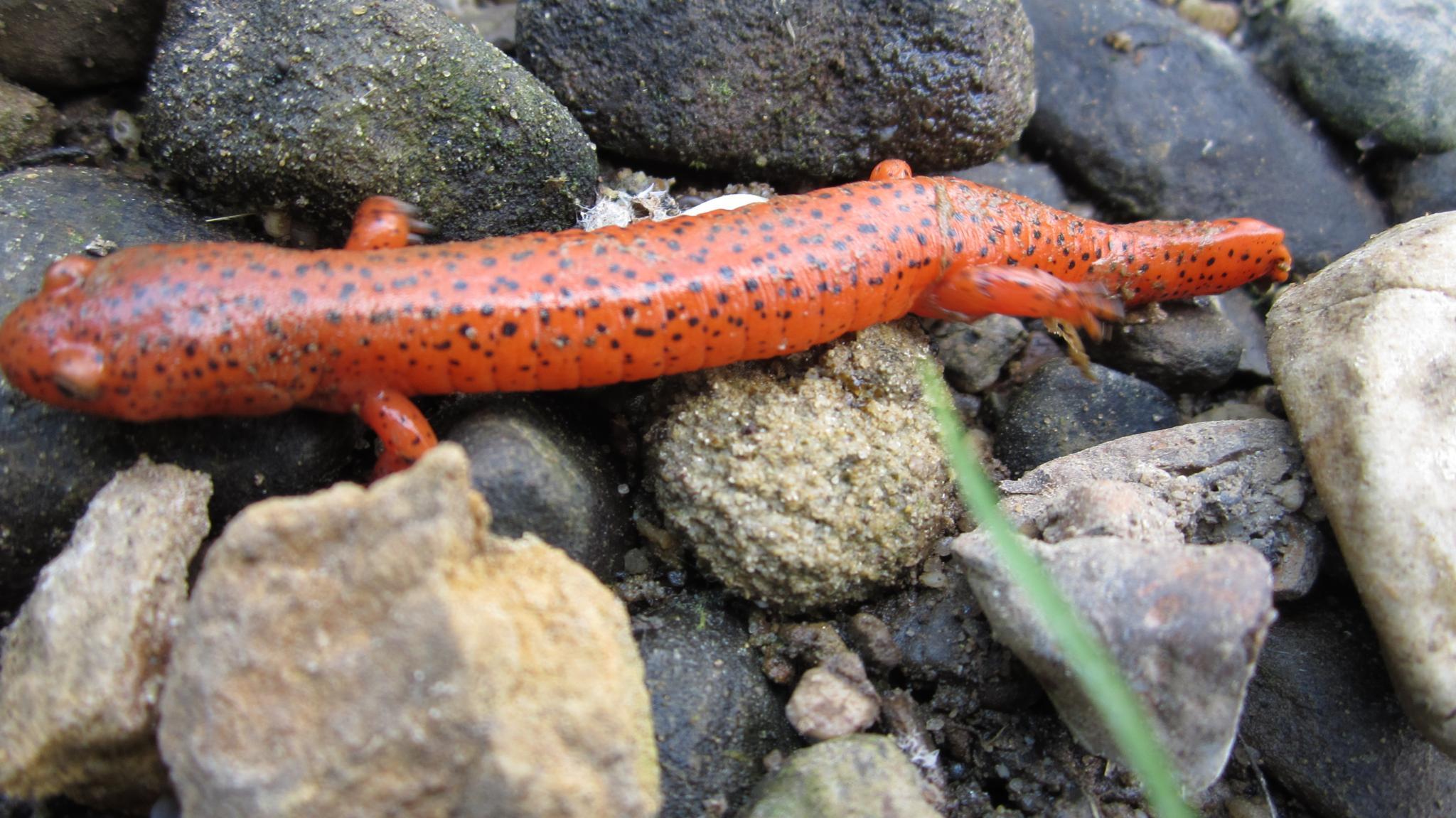 northern red salamander by conniemacerol