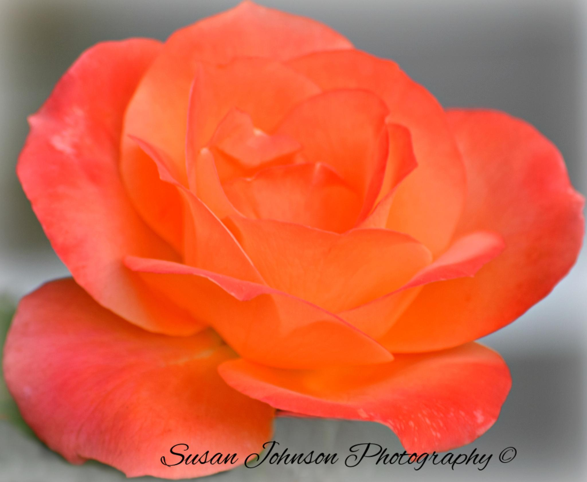 Untitled by Susan Johnson