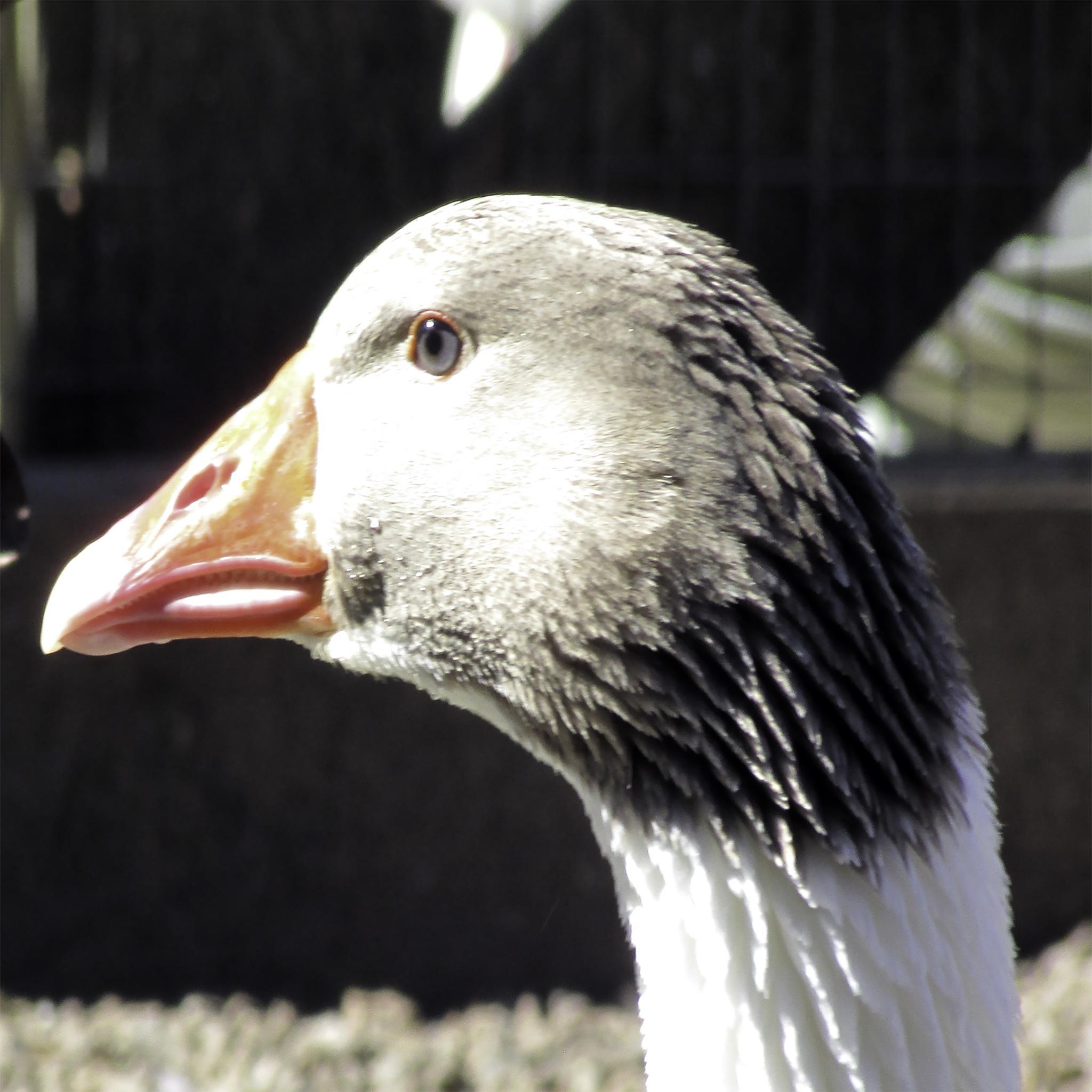 Photo in Nature #nature #birds #animals #goose #farm