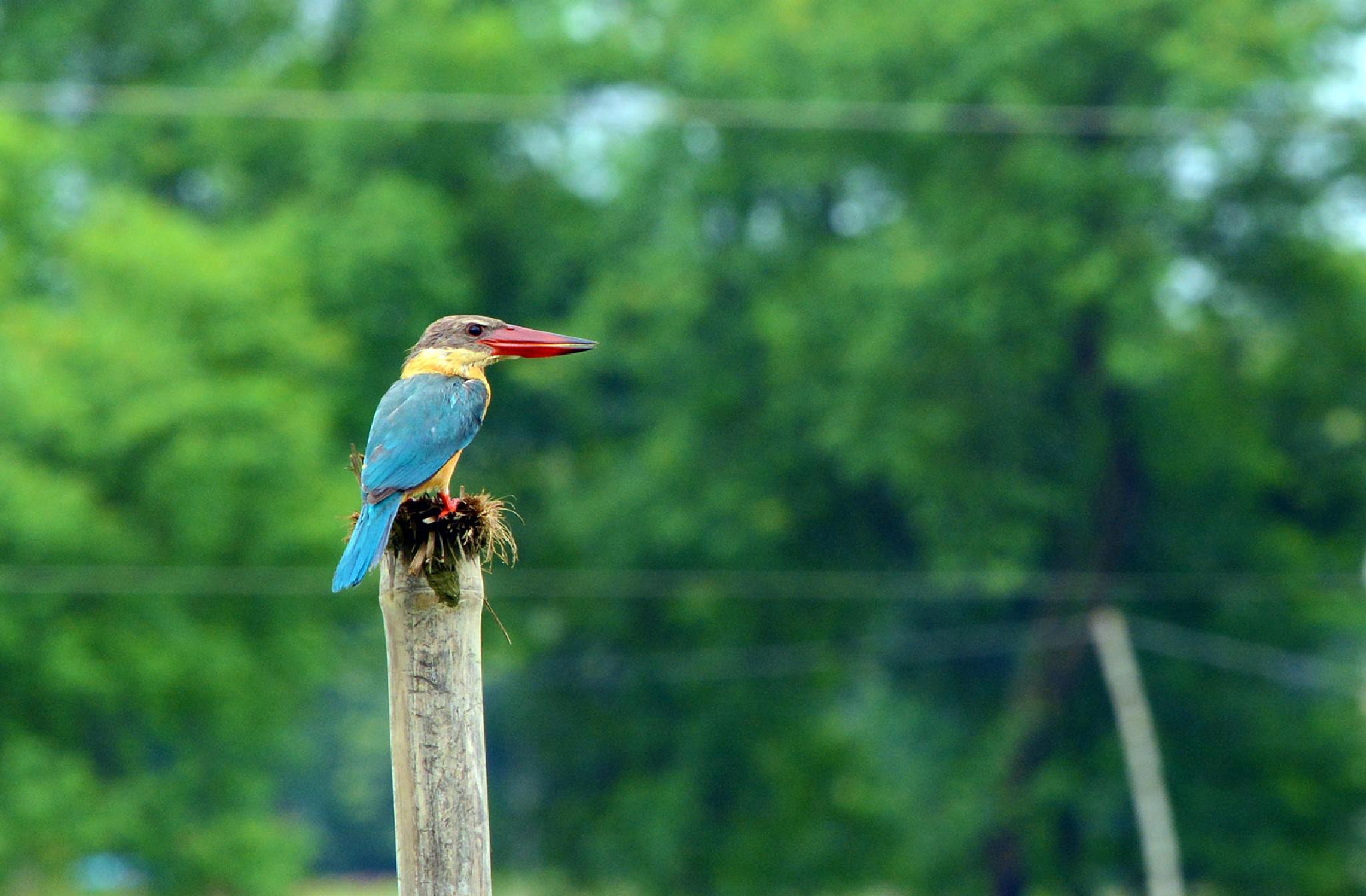Stork-Billed Kingfisher by Maroof Rana