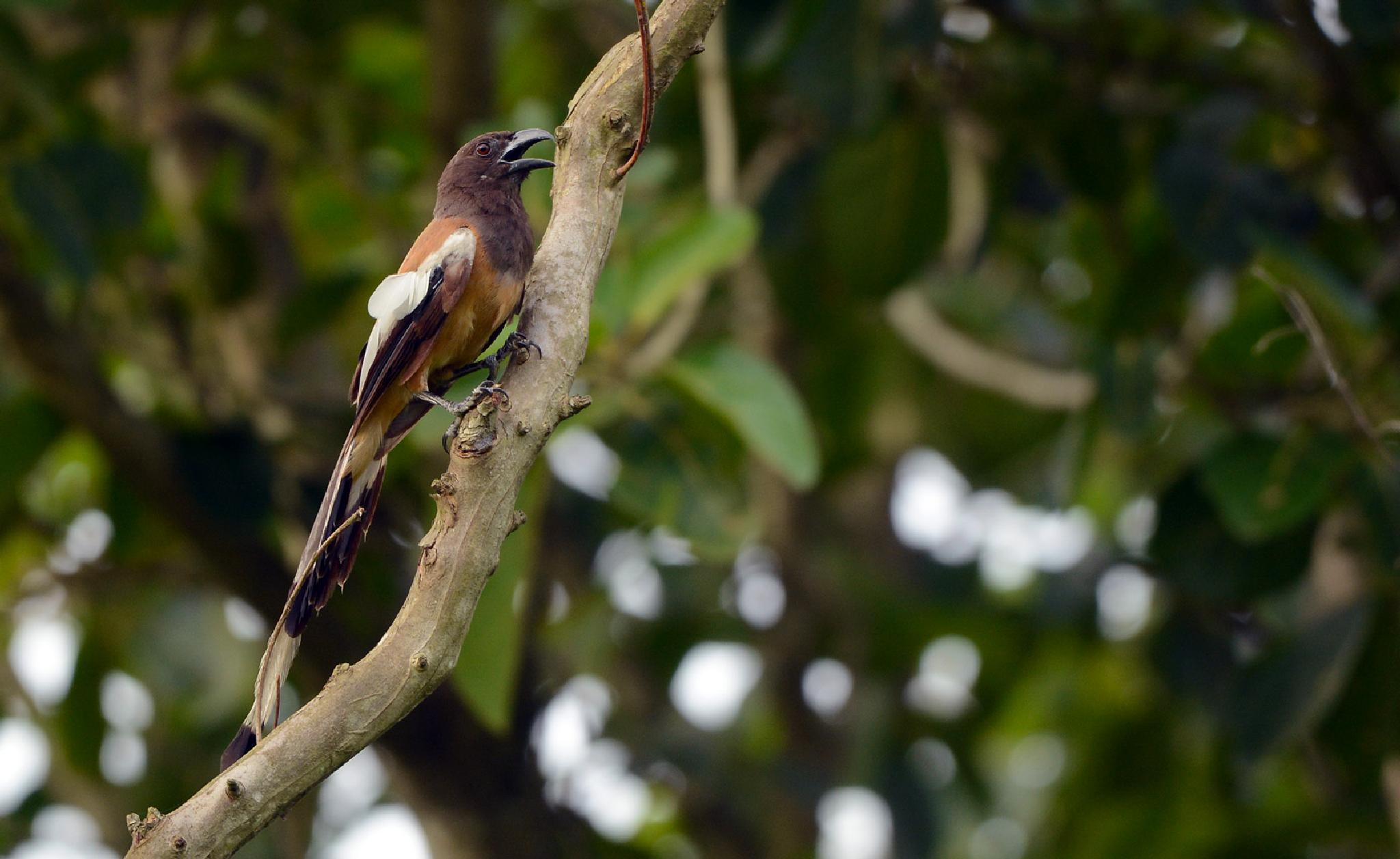 Rufous treepie by Maroof Rana