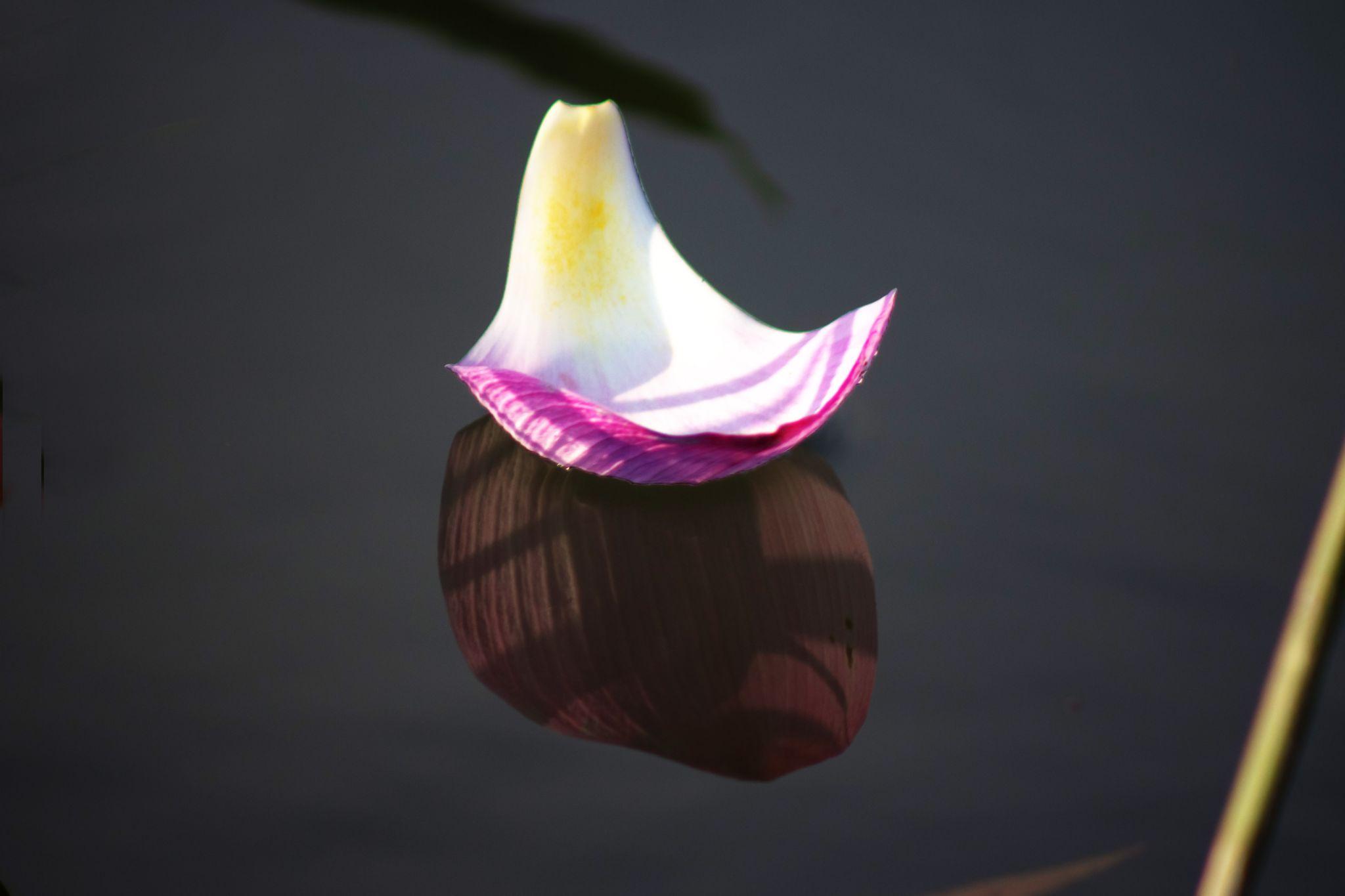 Boat lotus petals by Nhat giang