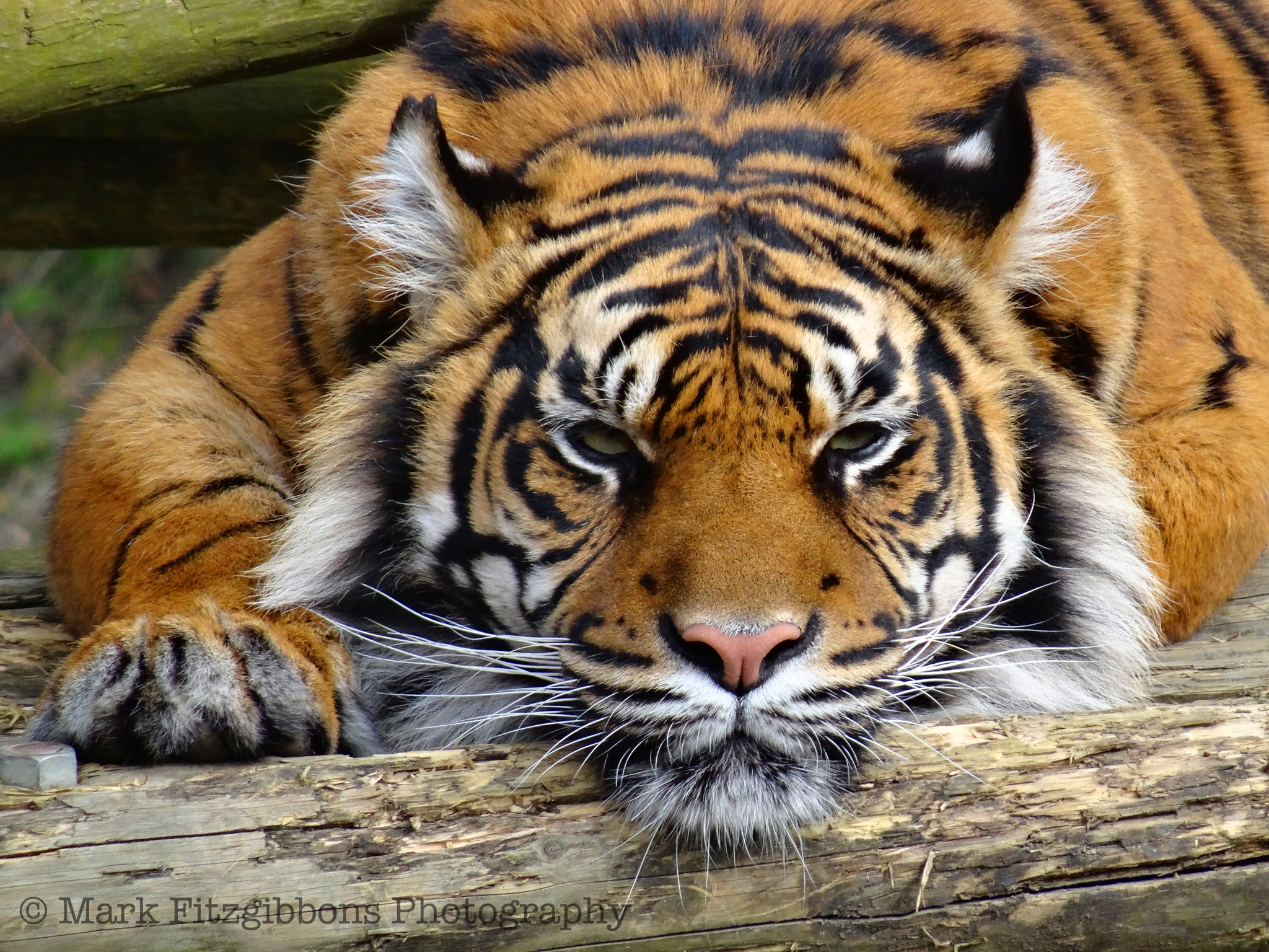 Eye Of The Tiger by Specky666