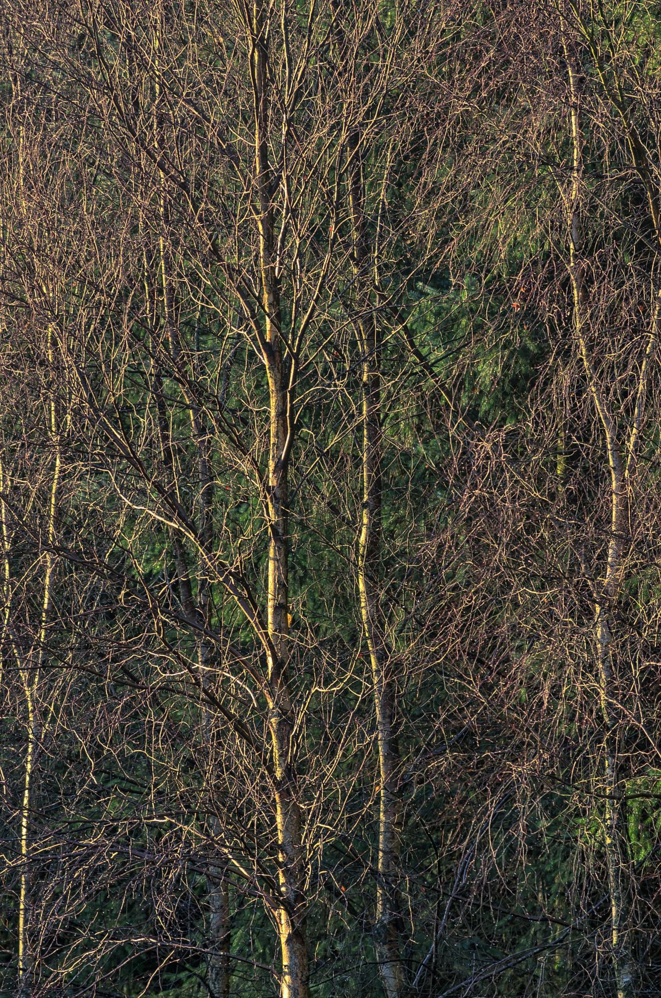 birches by jacektomcz