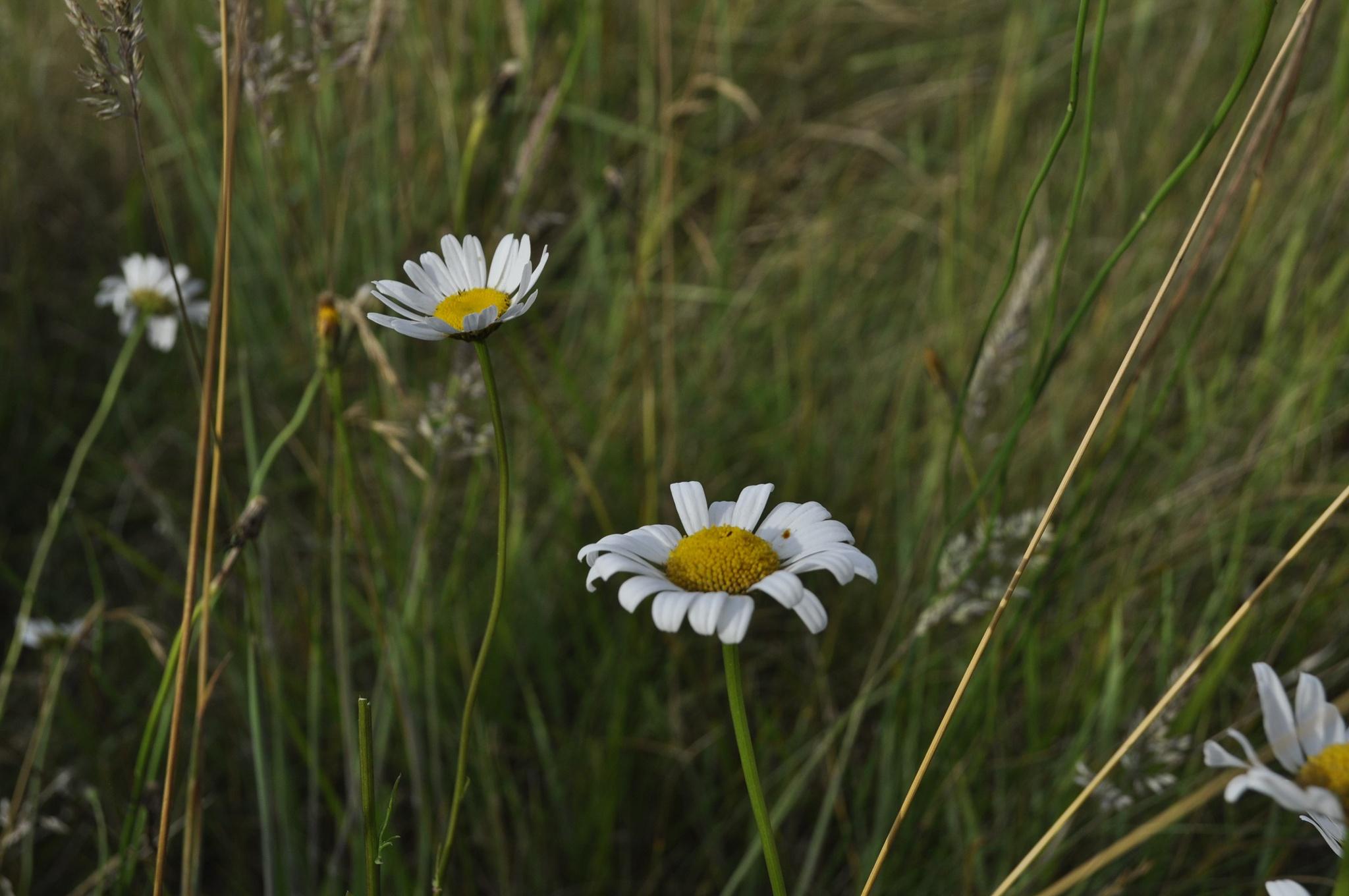 Wild Daisies by Ellen Lauder