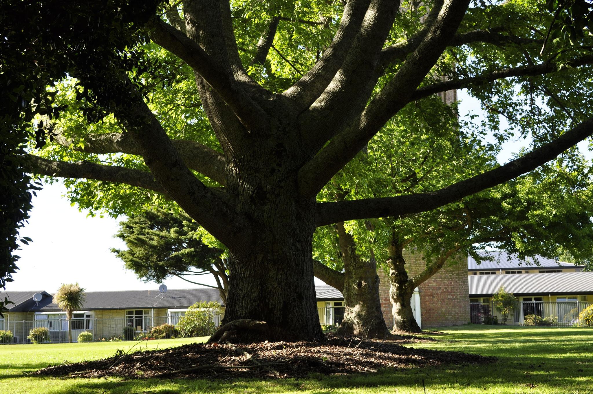 Old Tree by Ellen Lauder