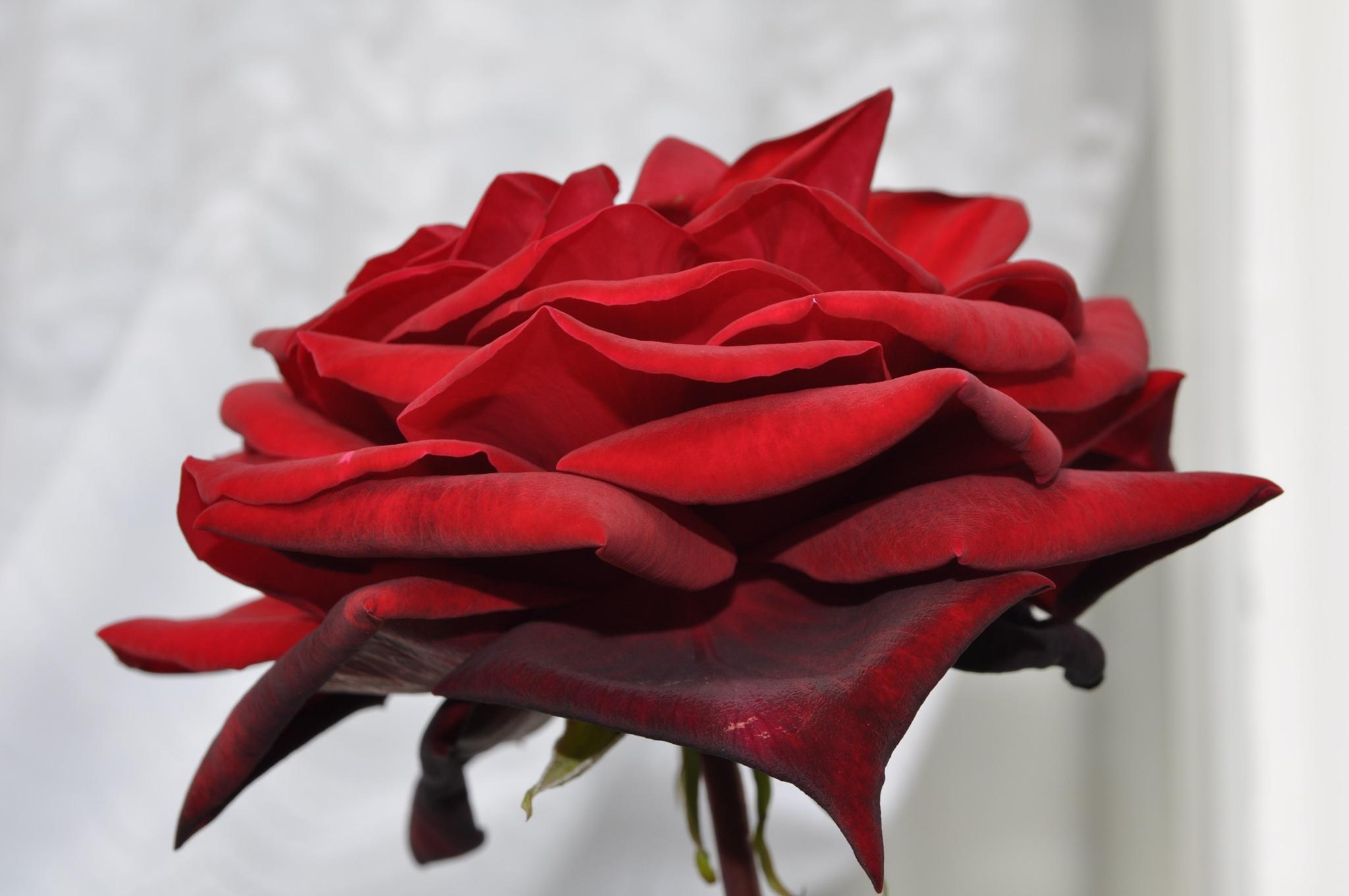 RED PETAL by Ellen Lauder