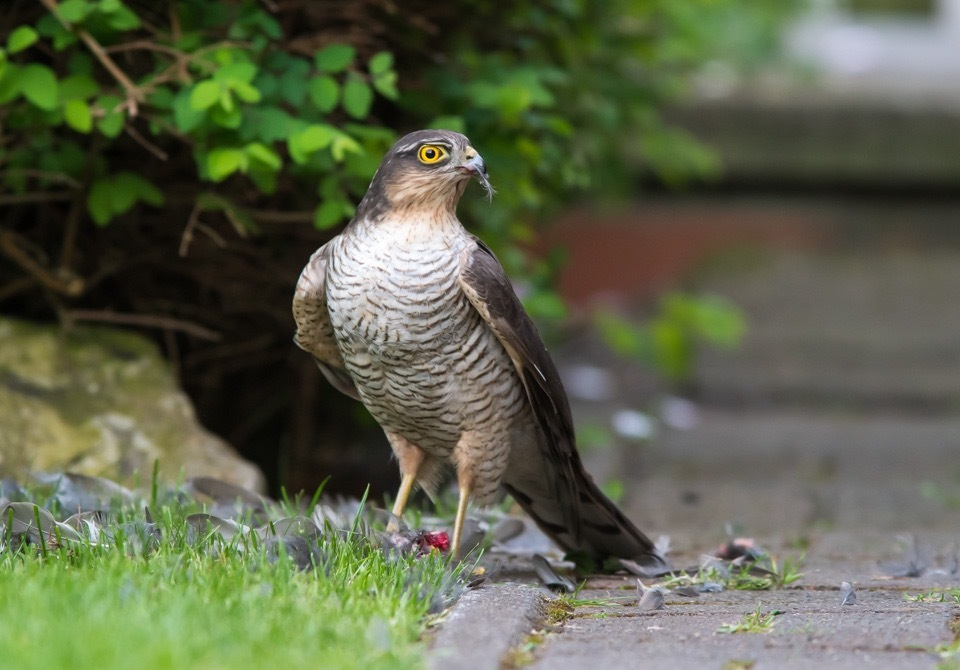 Sparrowhawk  by gazclarke1974