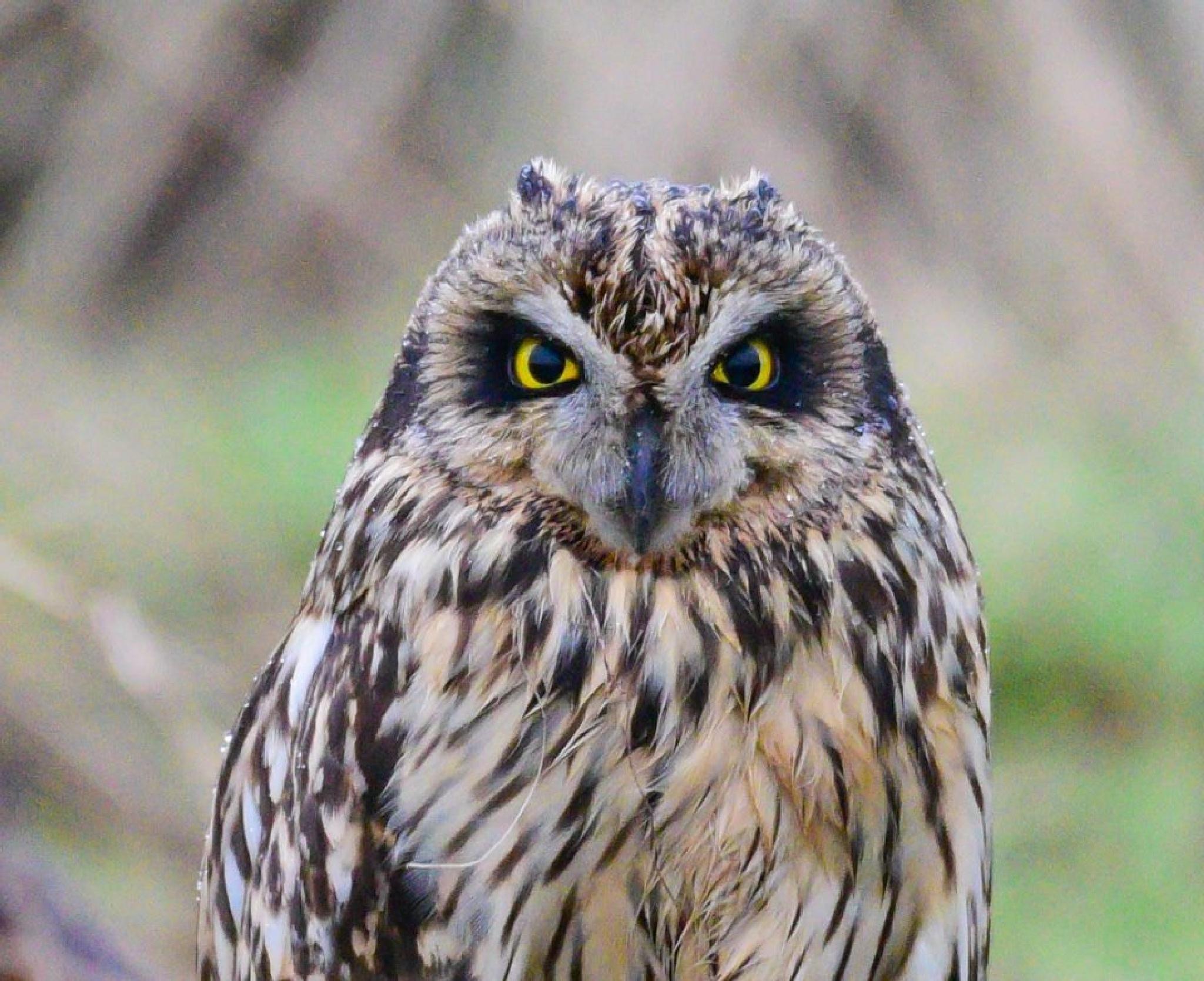 Short Eared Owl (Wild) by gazclarke1974