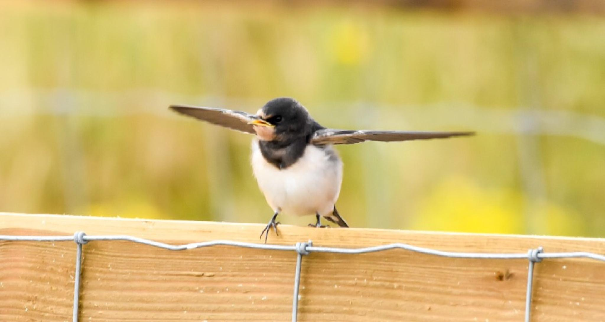 Swallow  by gazclarke1974
