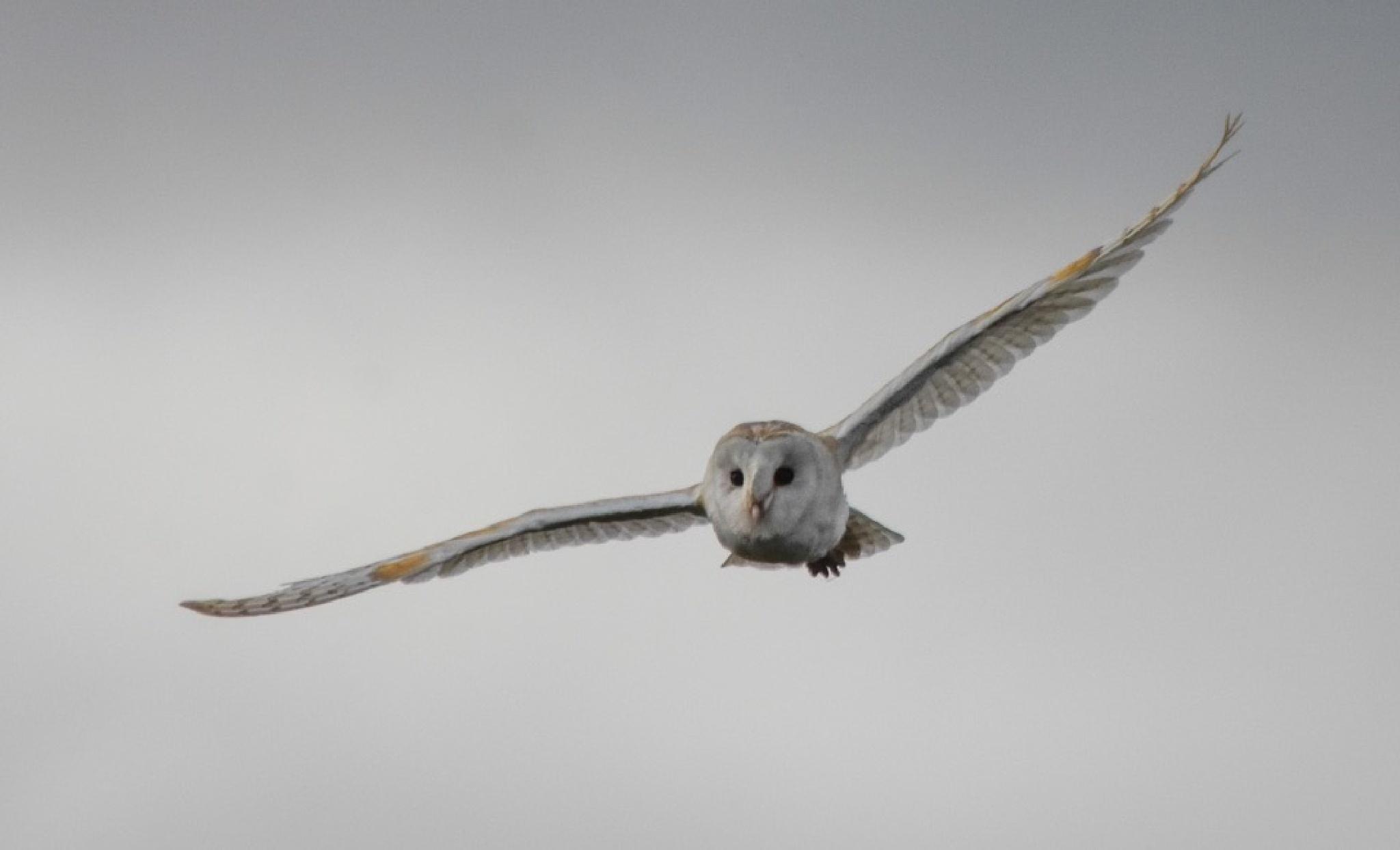 Barn Owl by gazclarke1974