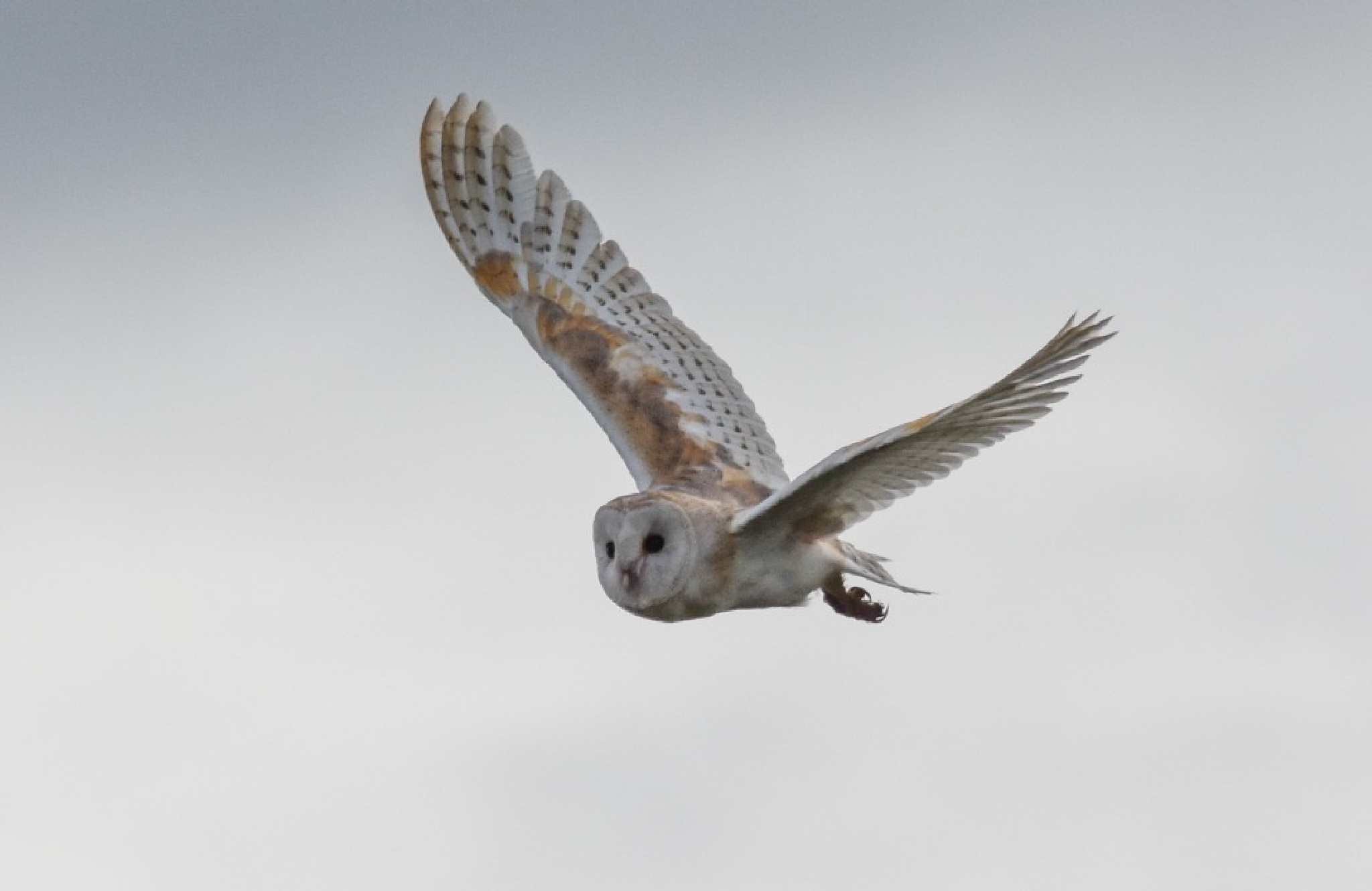 Barn Owl by gazclarke1974