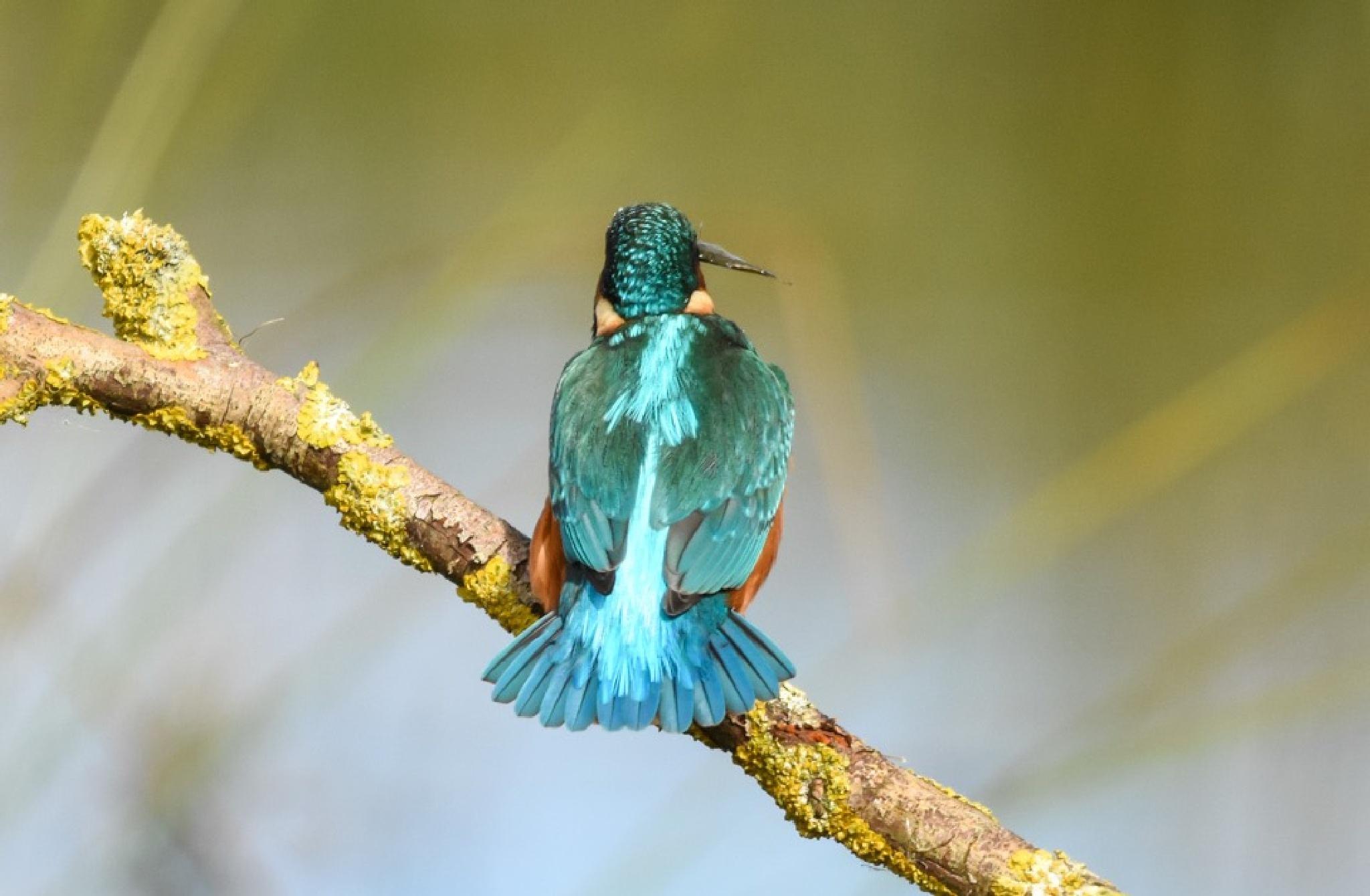 Kingfisher  by gazclarke1974