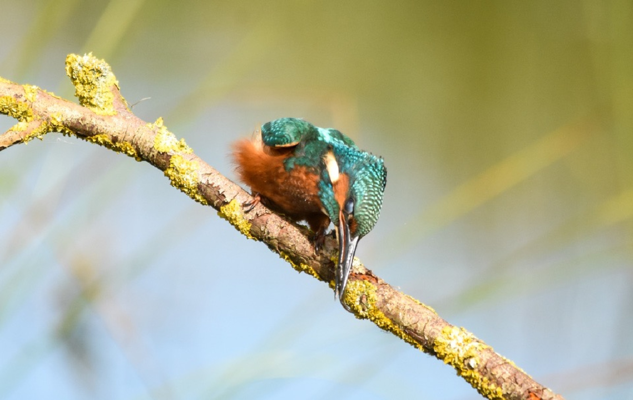 Kingfisher  by gazclarke1974
