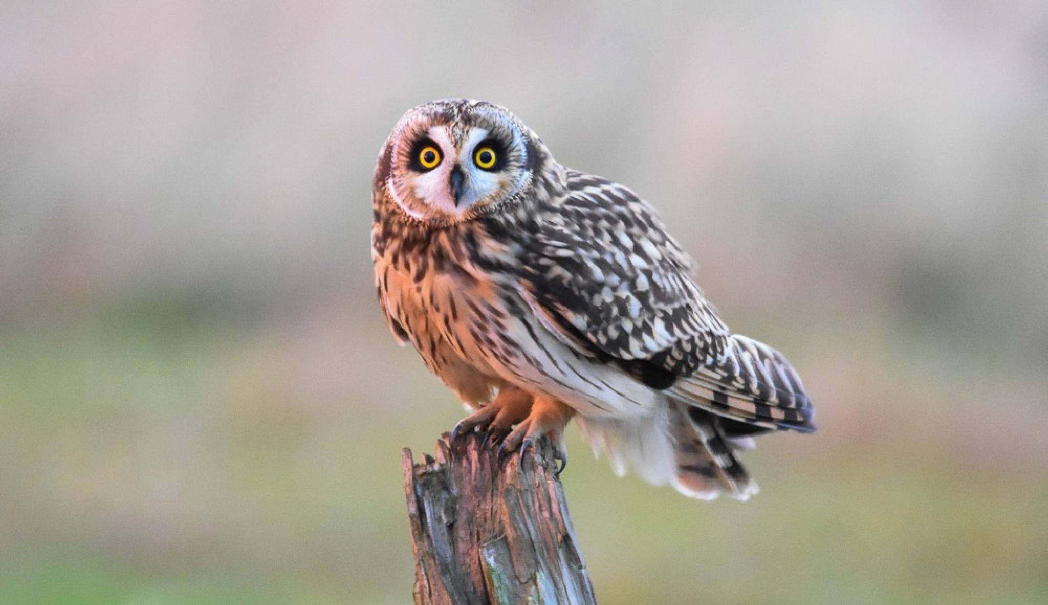 Short Eared Owl by gazclarke1974