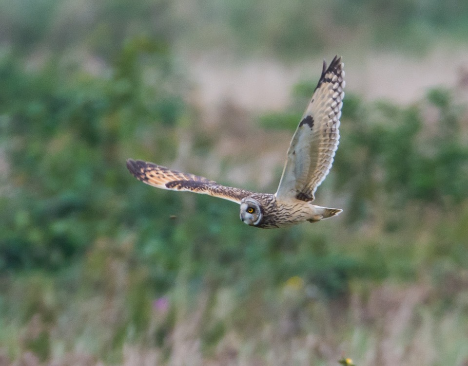 Short Eared Owl  by gazclarke1974